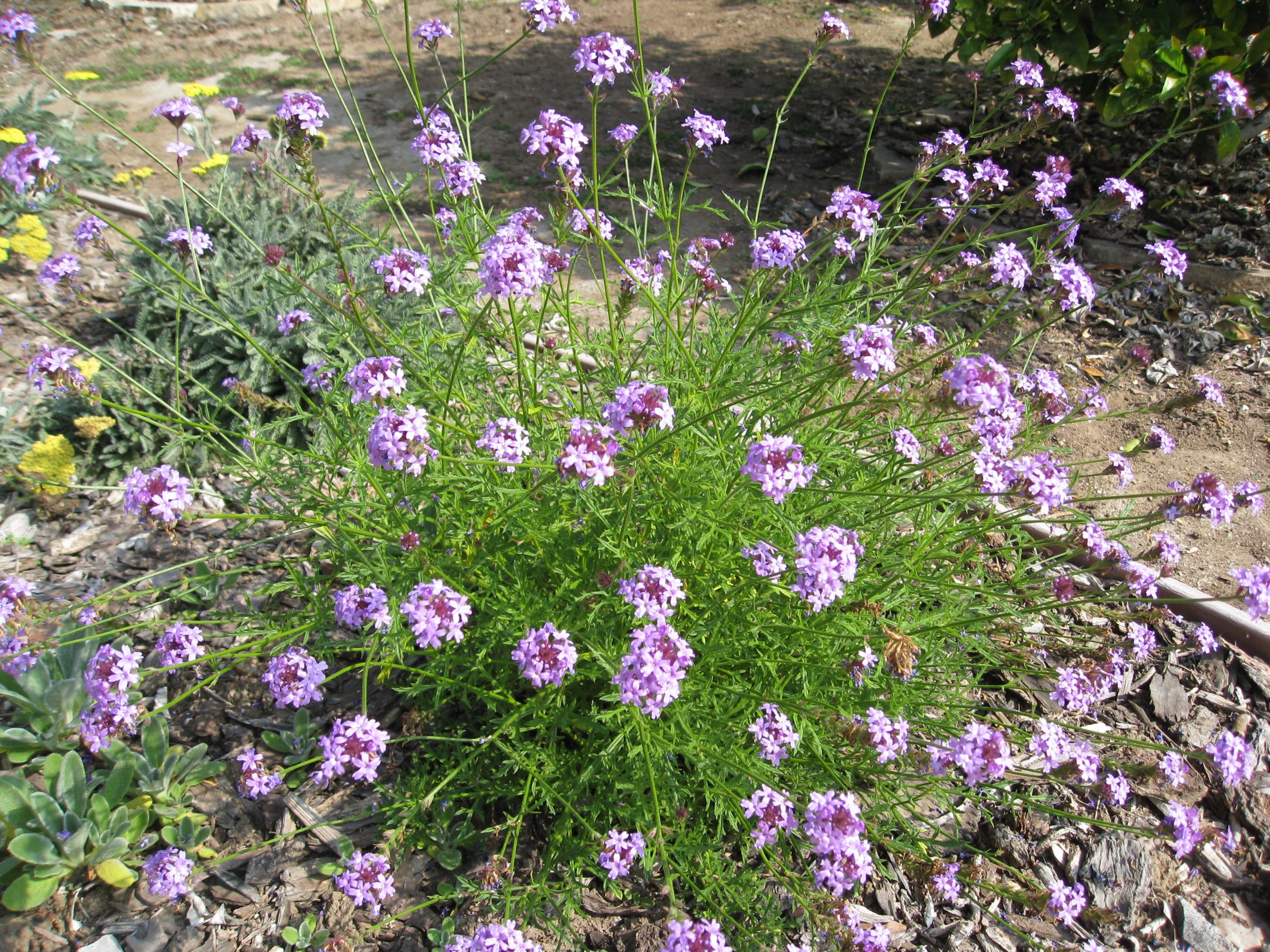 Read more about the article Wordless Wednesday: California Natives in Bloom