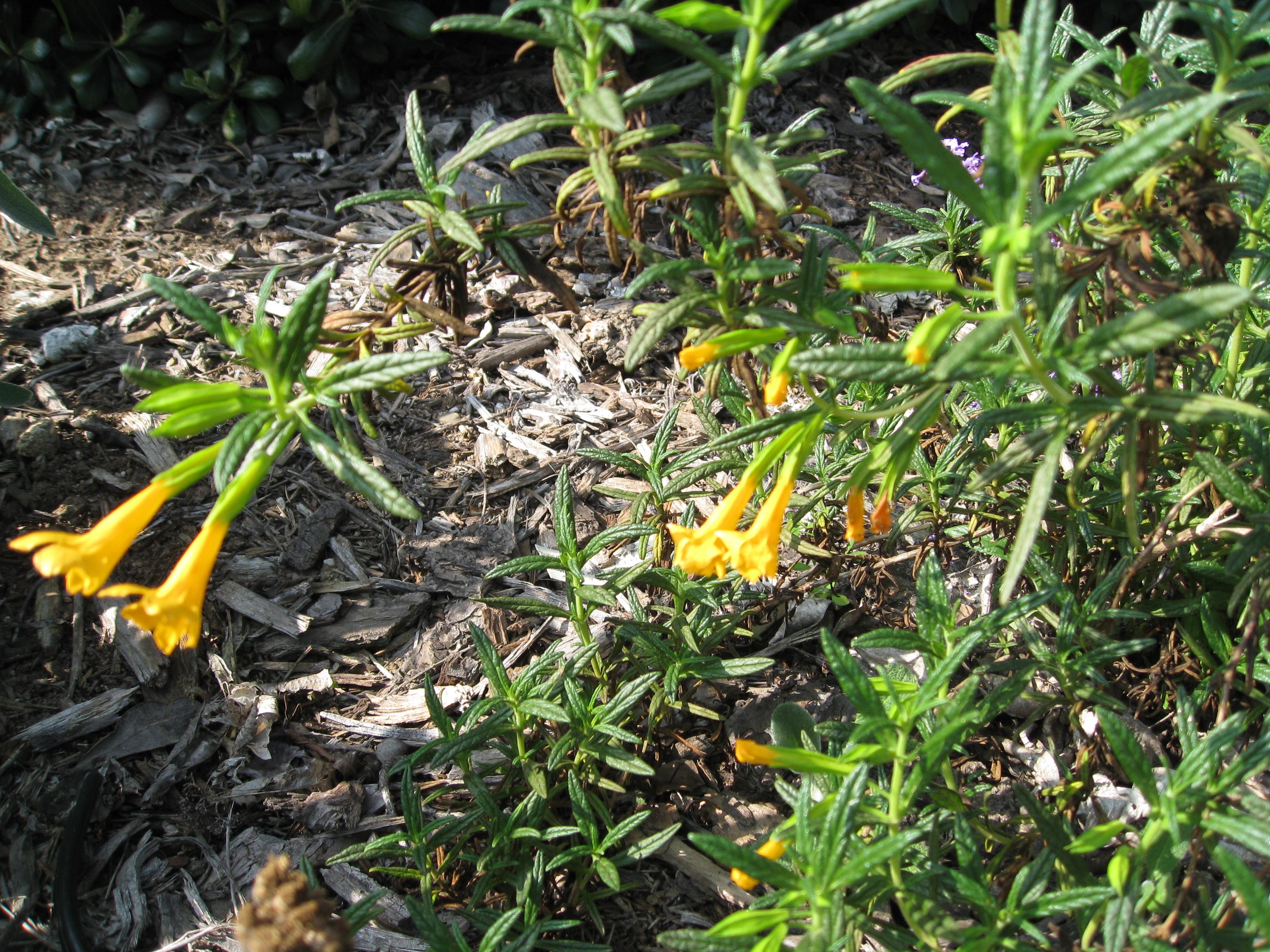 Monkeyflower, mimulus aurantiacus