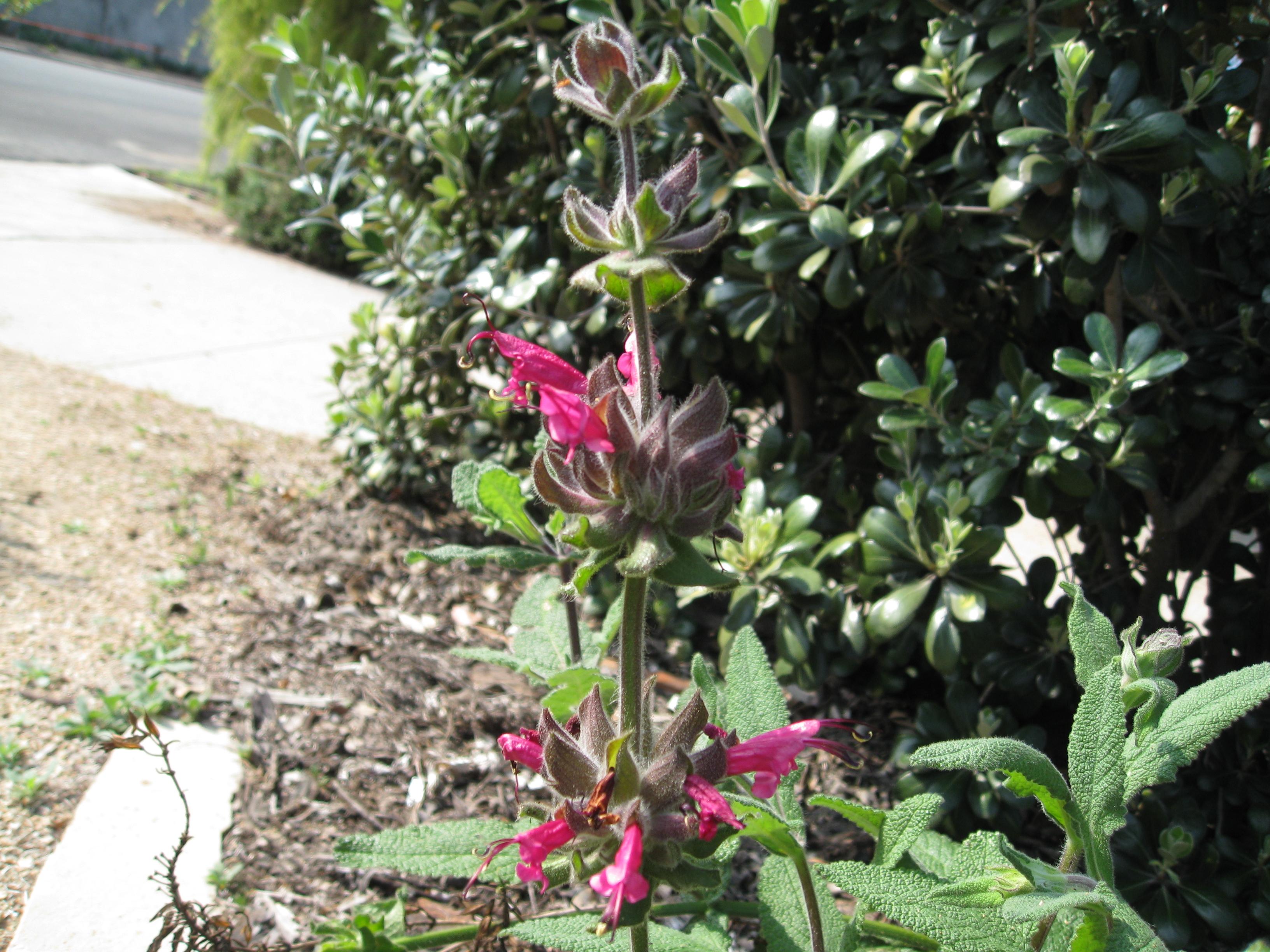 Hummingbird sage, Salvia spathacea