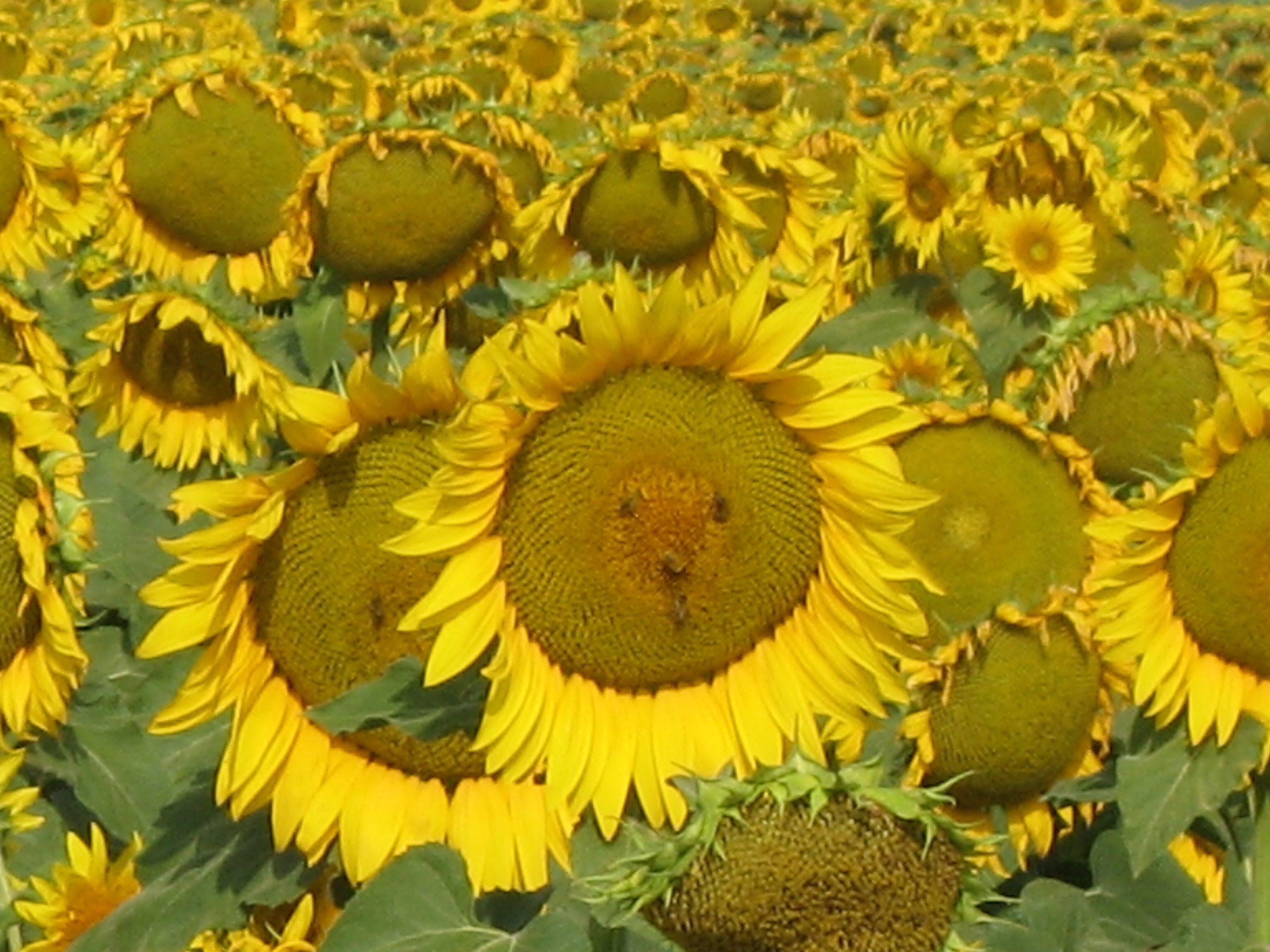 Sunflowers for pollinators