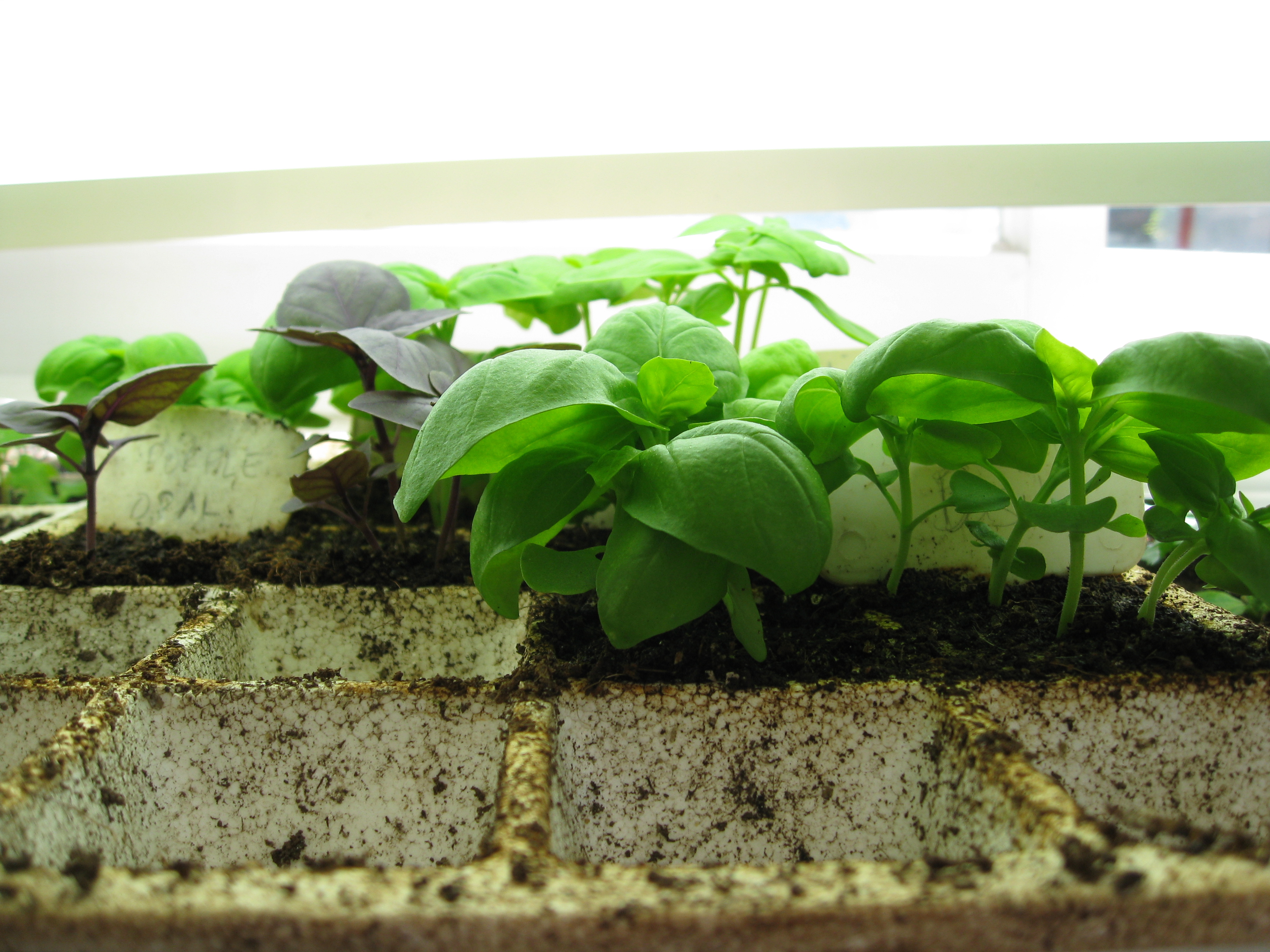 4 types of basil (and 2 different strains of 1 cultivar) sit beautifully in their seed tray.
