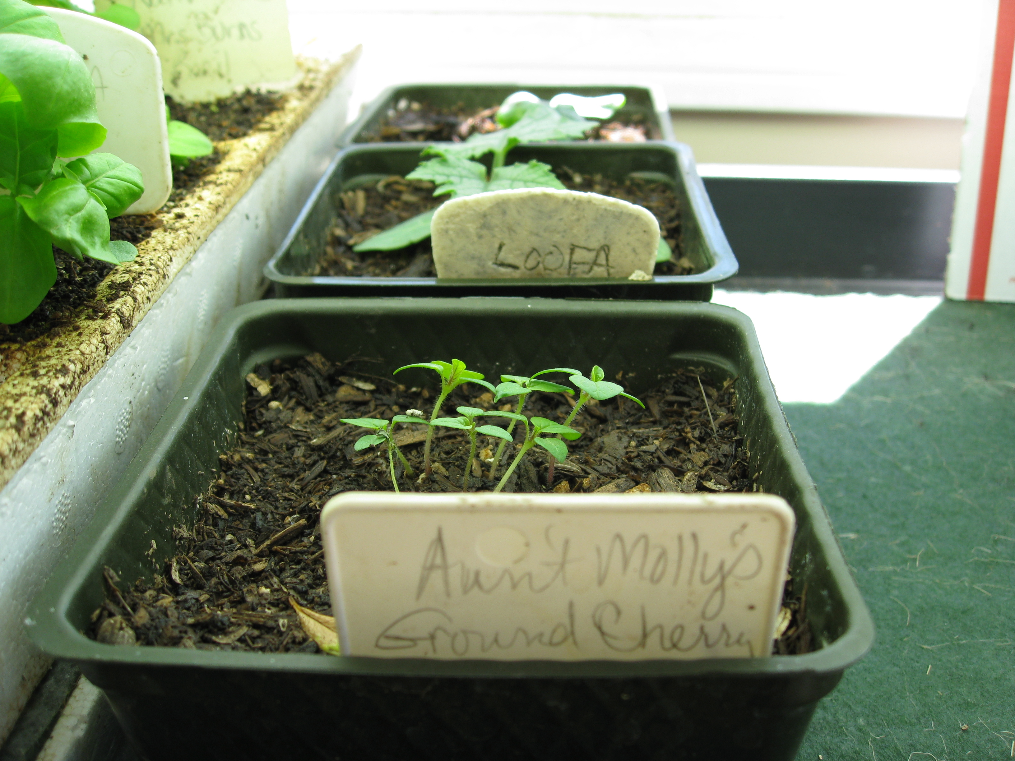 Aunt Molly's Ground Cherry sprouts