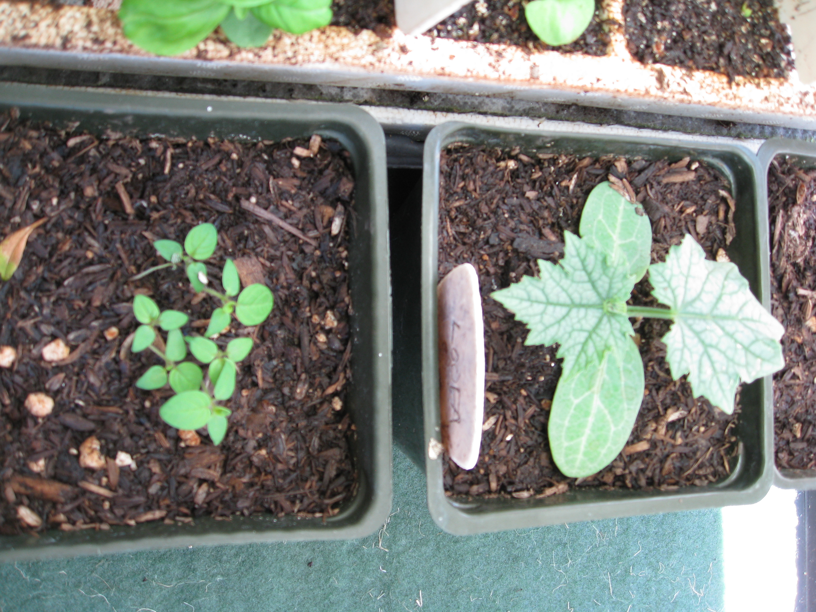 """Loofah (right) and Aunt Molly's Ground Cherry (left) get going in 4"""" pots."""