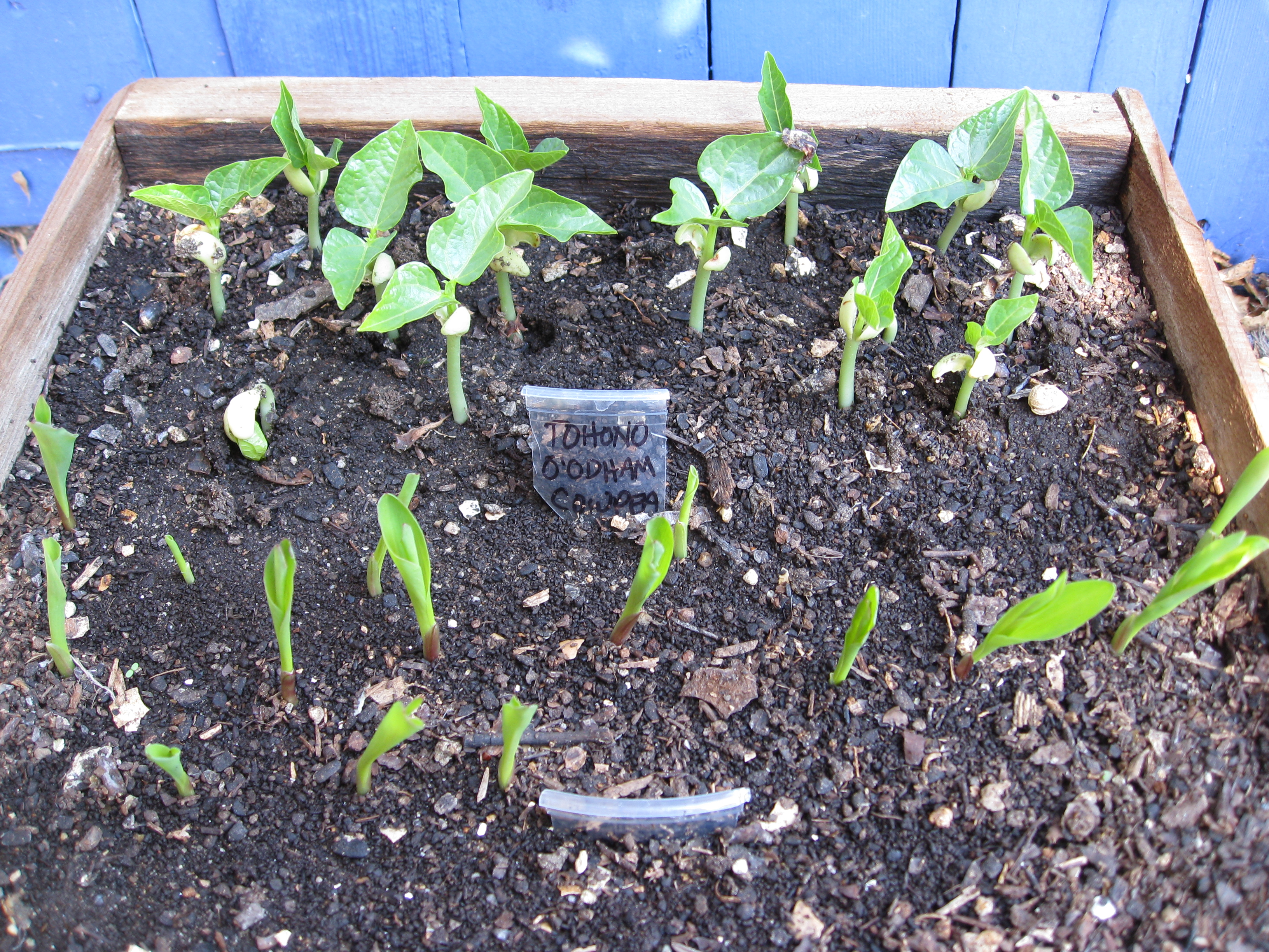 Tohono O'ohdam cowpeas and Country Gentleman corn, both heirlooms ensure diversity in the garden