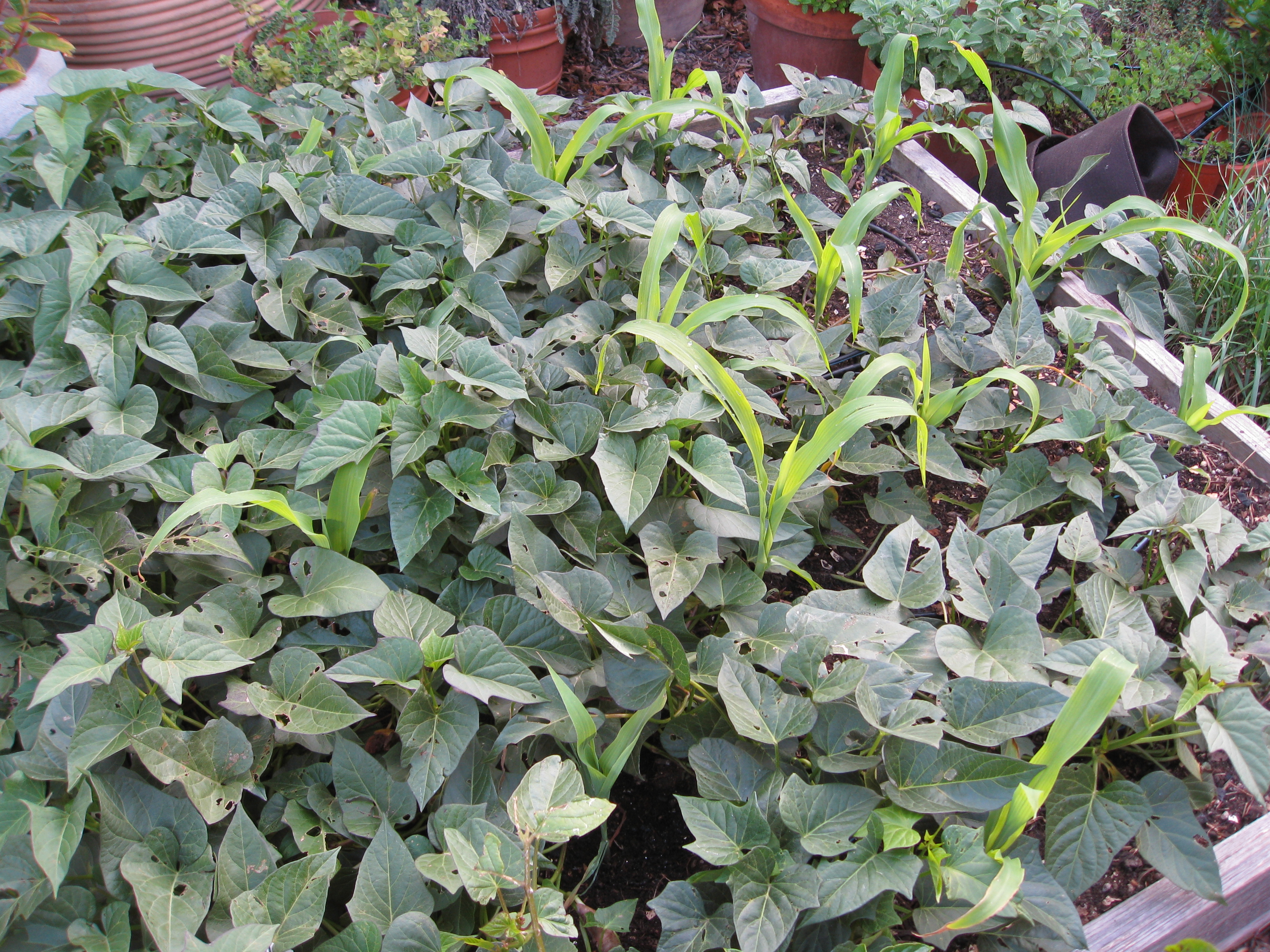 Corn interplanted with sweet potatoes.