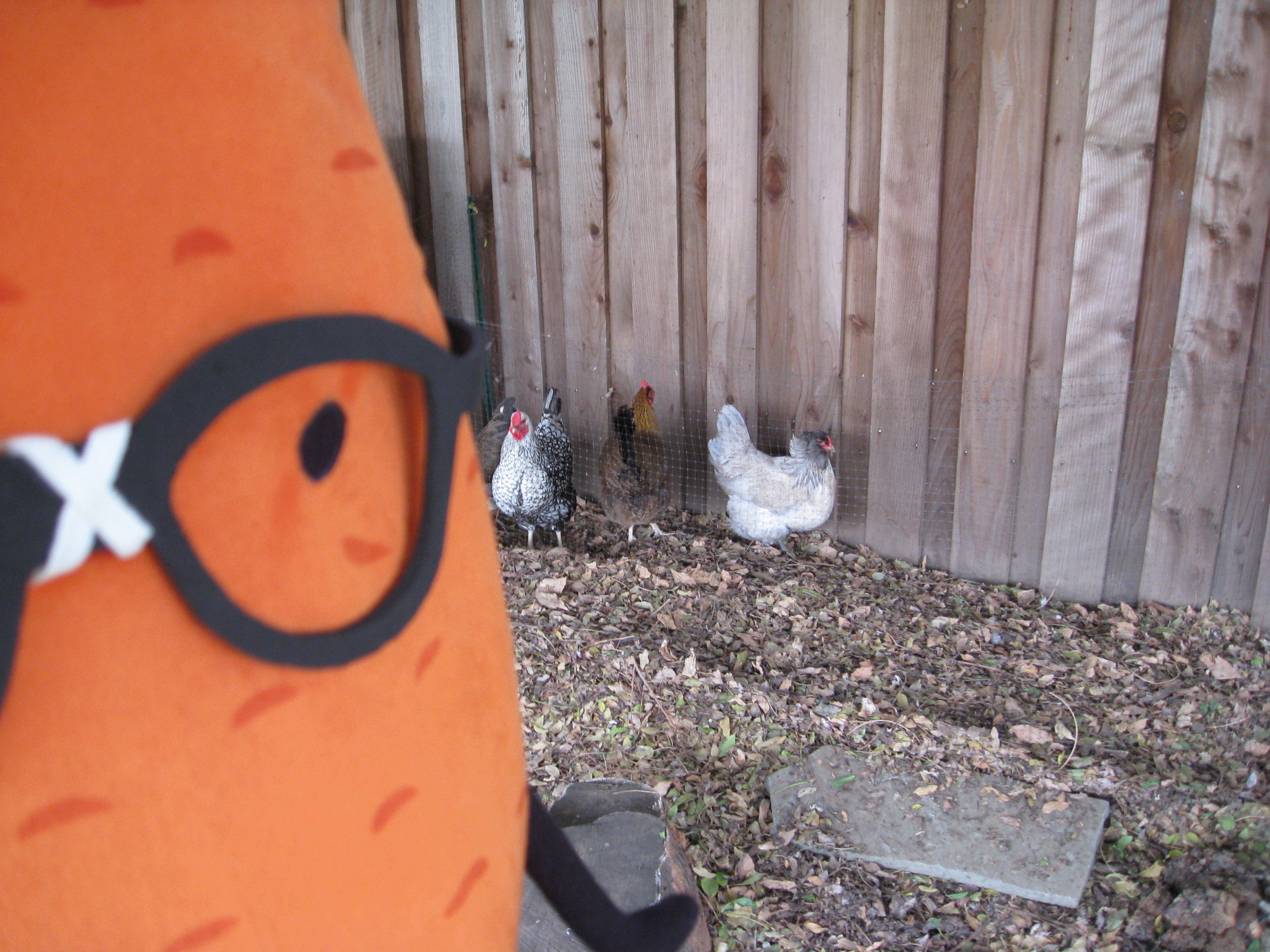 Gardenerd hangin' with the chickens in Mar Vista, CA.