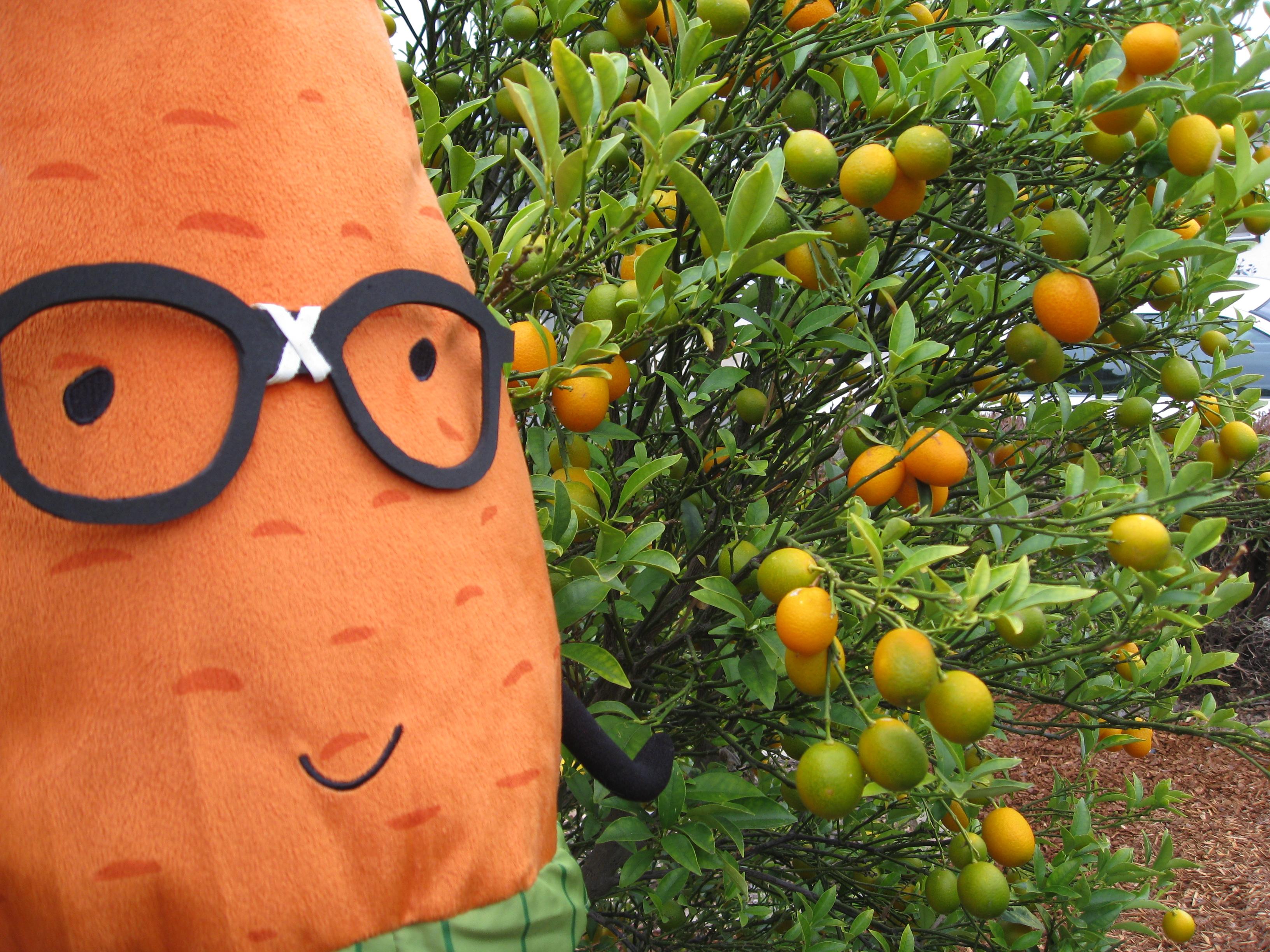 Kumquats are in! Coastal Los Angeles rocks.