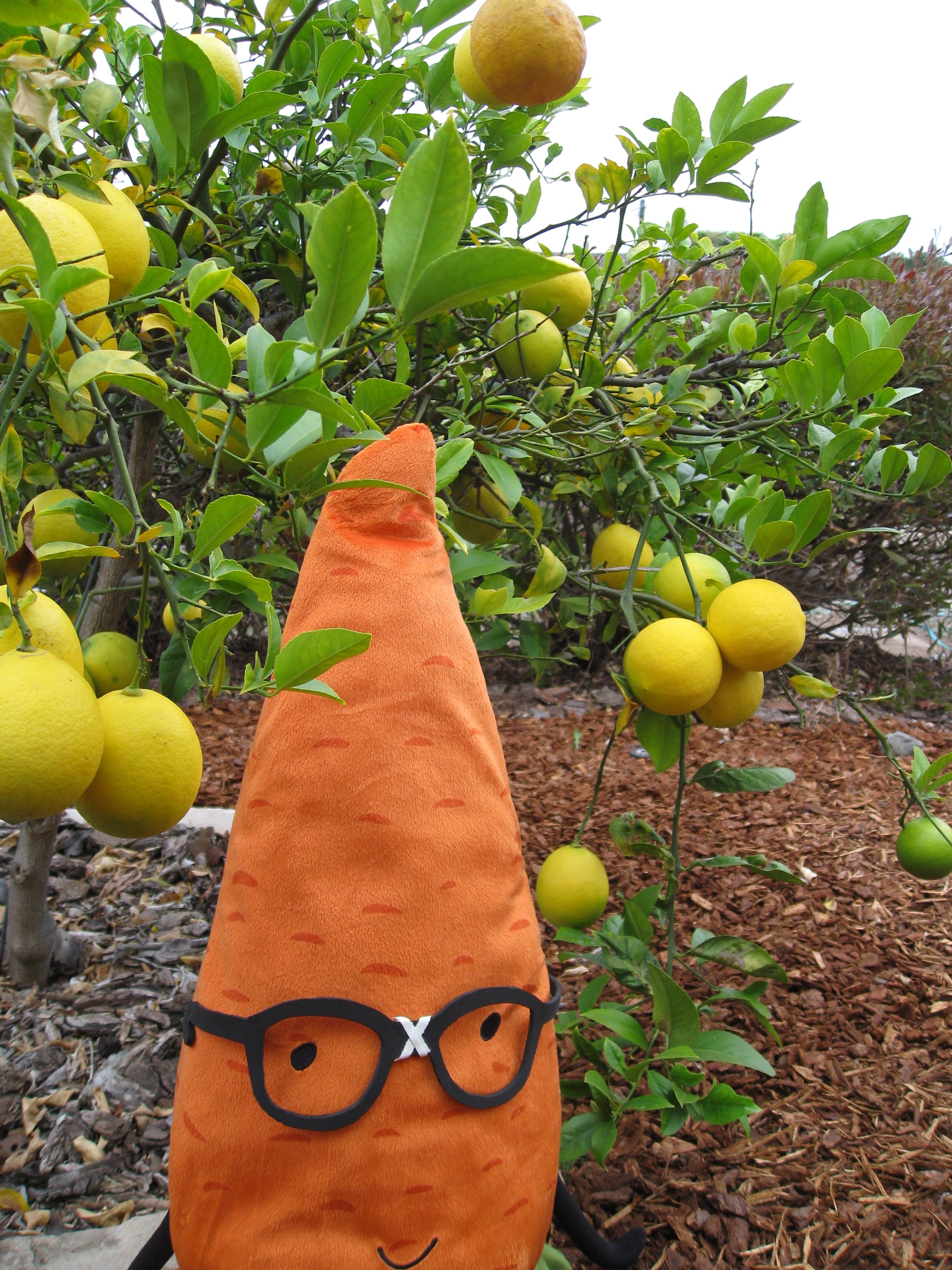 Gardenerd selfie with our Meyer lemon tree in Mar Vista, CA.