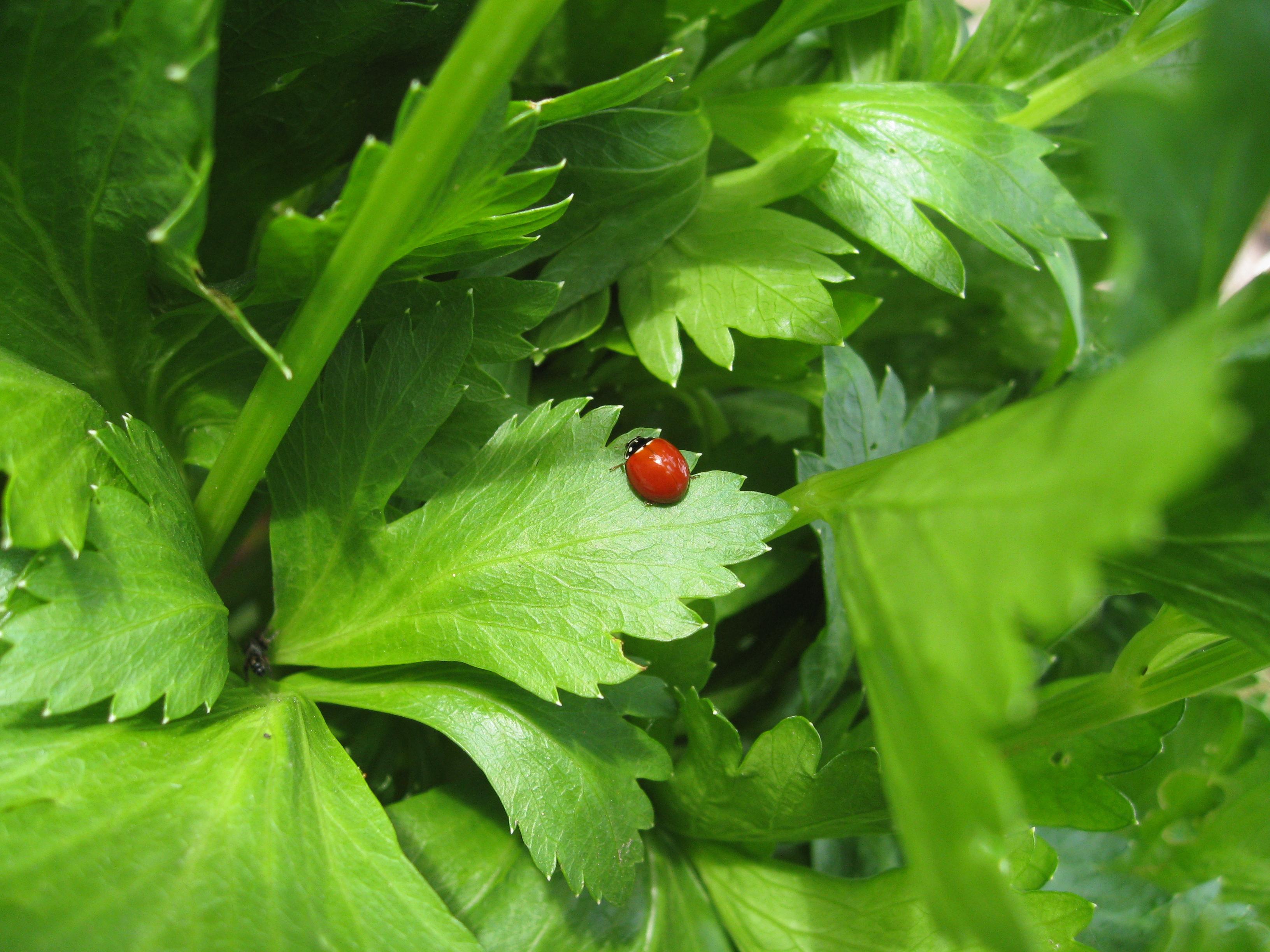 Lady bug on celery