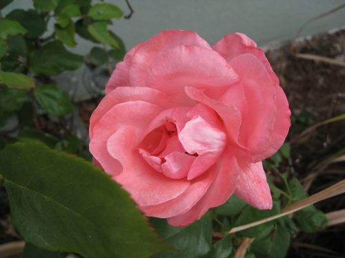Read more about the article Ask Gardenerd: Caterpillars on my Roses