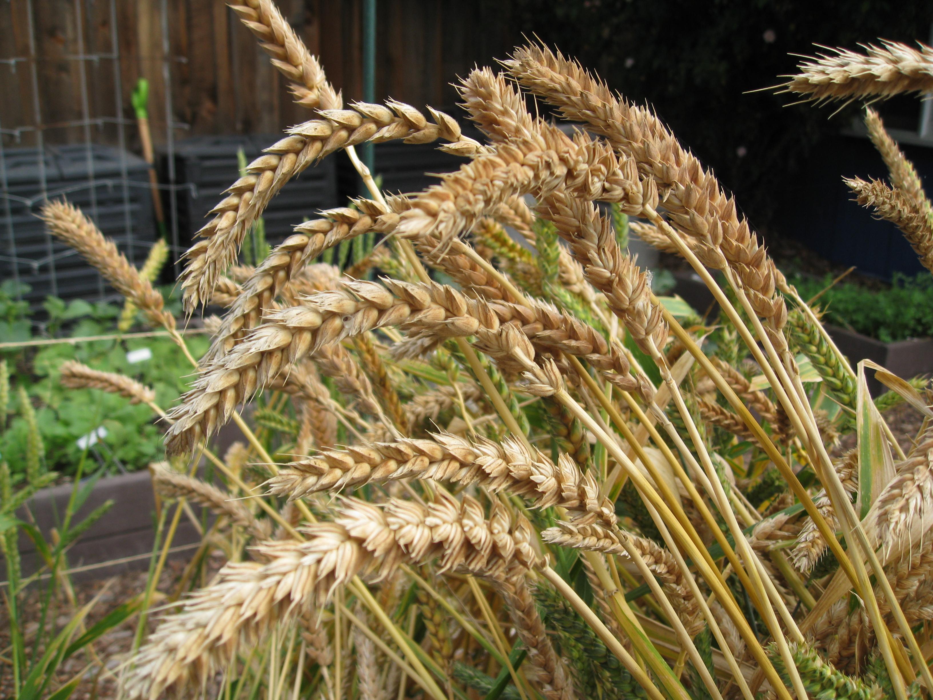 White Sonora Wheat nearing harvest