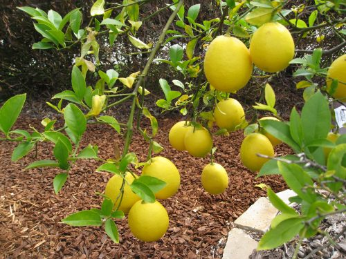 Read more about the article Ask Gardenerd: Rootstock Fruit on Citrus