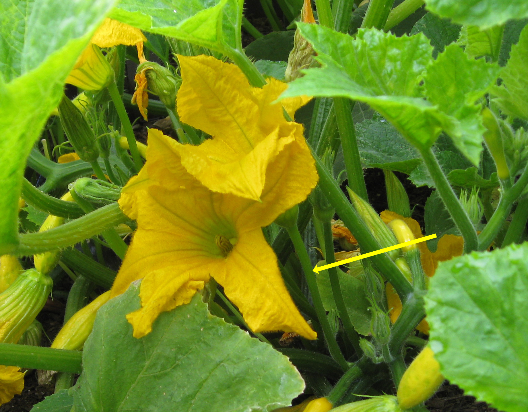You are currently viewing Hand Pollinating Squash