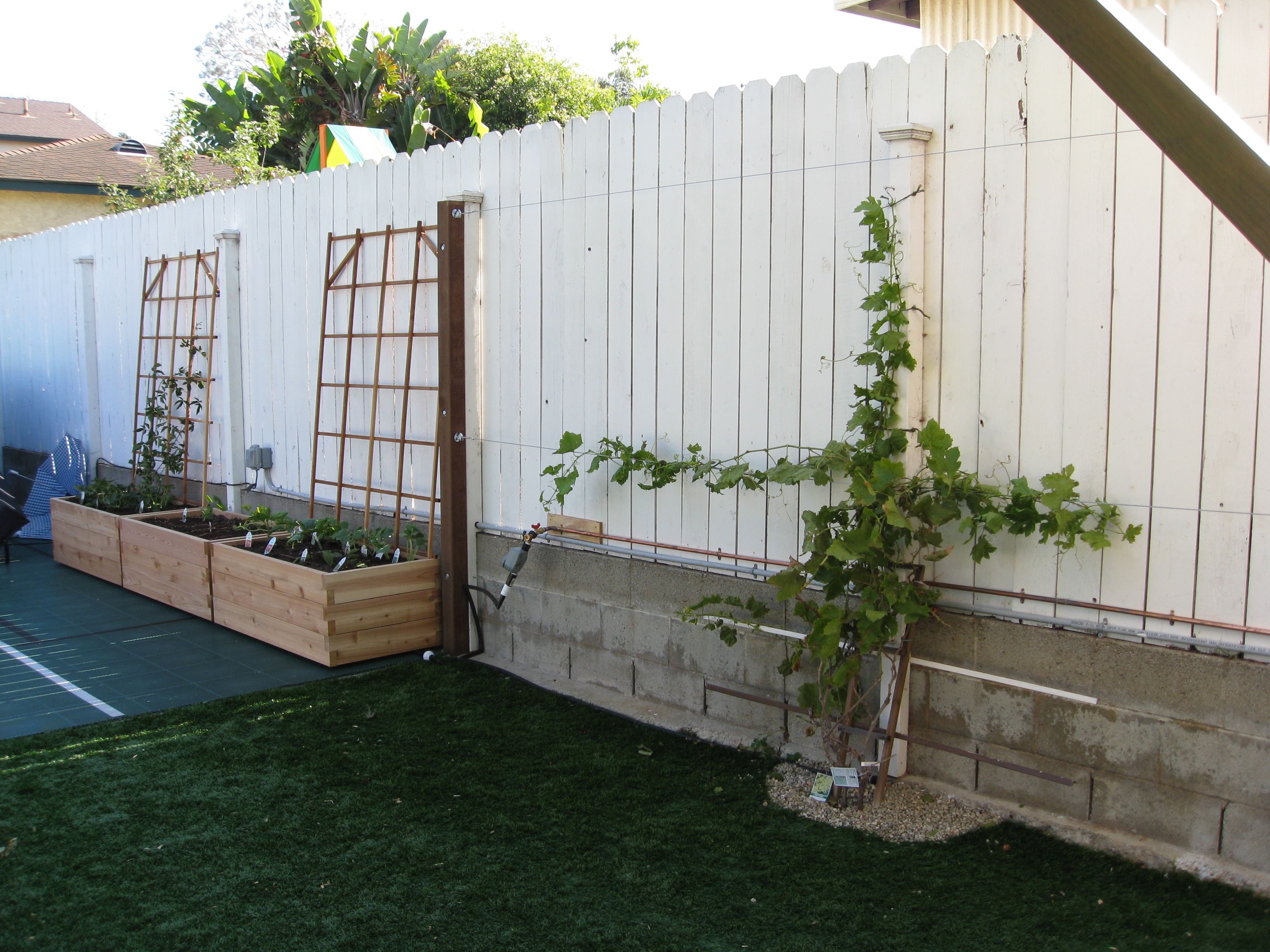 Grapevines against the fence will grow to fill in their new trellis. Red grapes to the right, green grapes to the left.