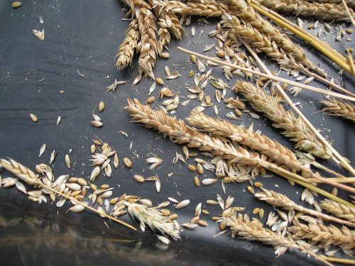 Read more about the article Harvesting Wheat