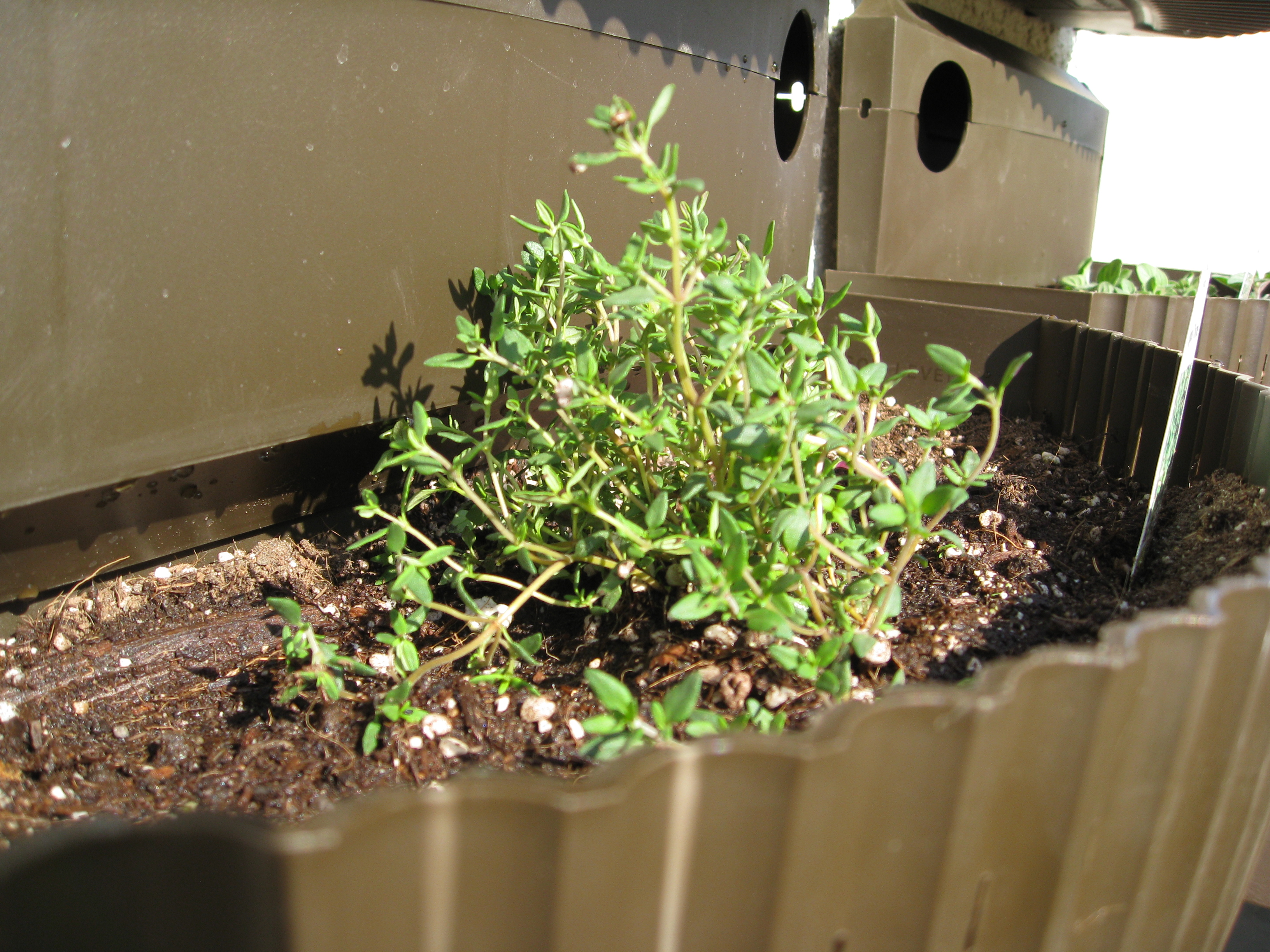 Thyme is great for spilling over containers.