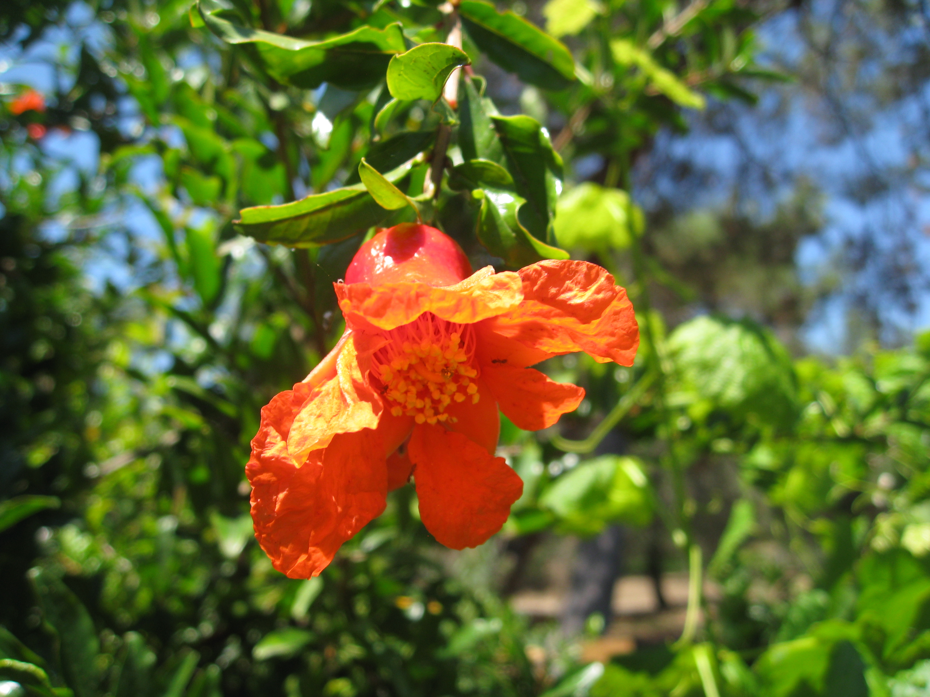 A Pomegranate tree in flower hangs into the pathway.