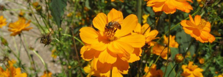 Cosmos are beneficial insectaries for bees and other pollinators.