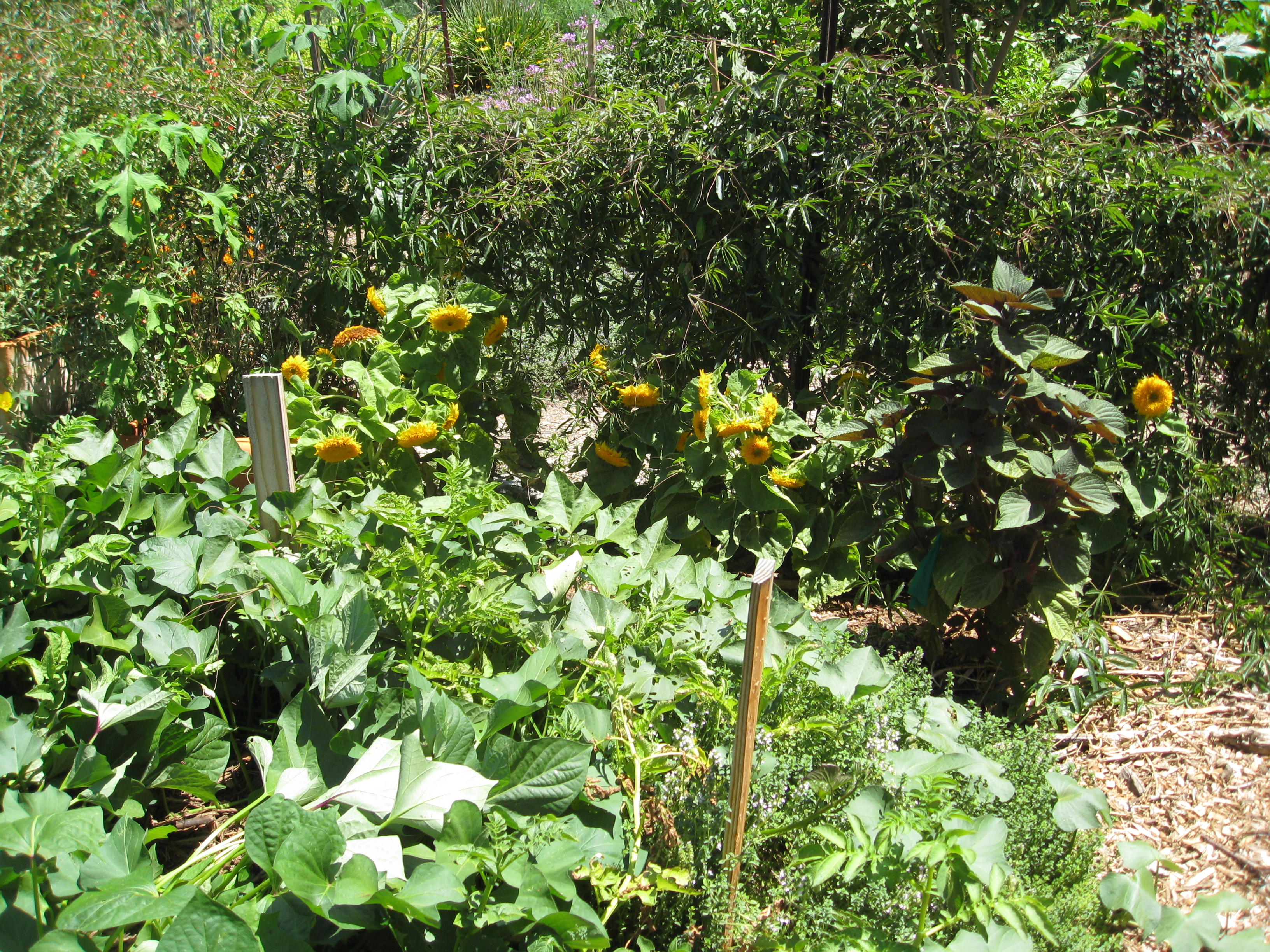 The herb circle isn't just for herbs anymore. Sunflowers, squash and passion fruit have taken over.