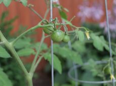 Young tomatoes in cages - Rule #1: give them proper support