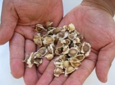 Moringa seeds - loose and ready for the taking...swapping.