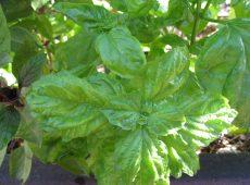 Salad Leaf Basil