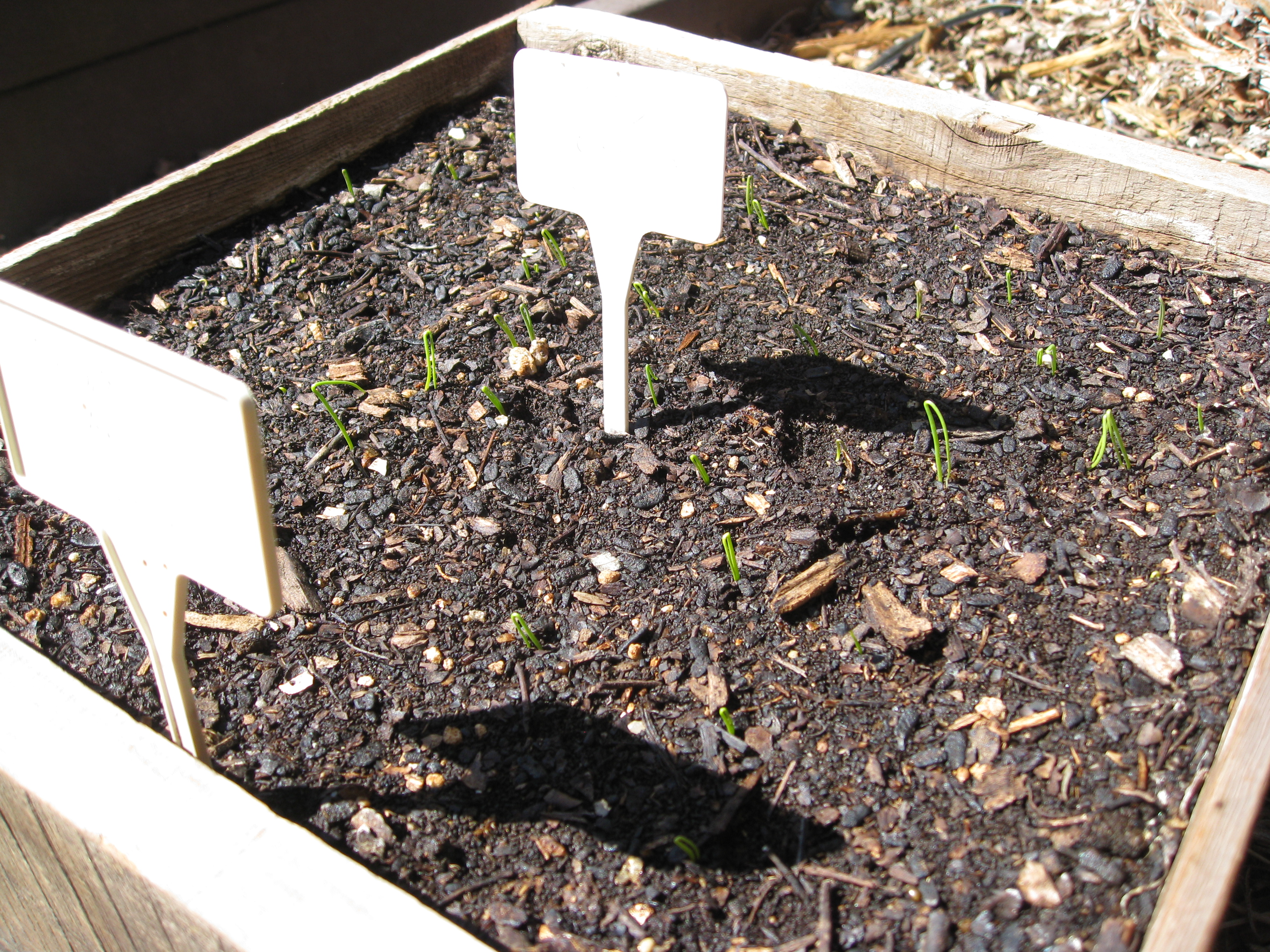 Red and yellow onions sprouting in a seed flat. They will go in the ground at the end of the month.