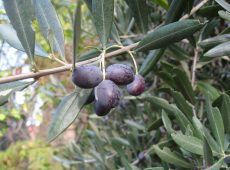 Fresh olives ready to be picked next week.