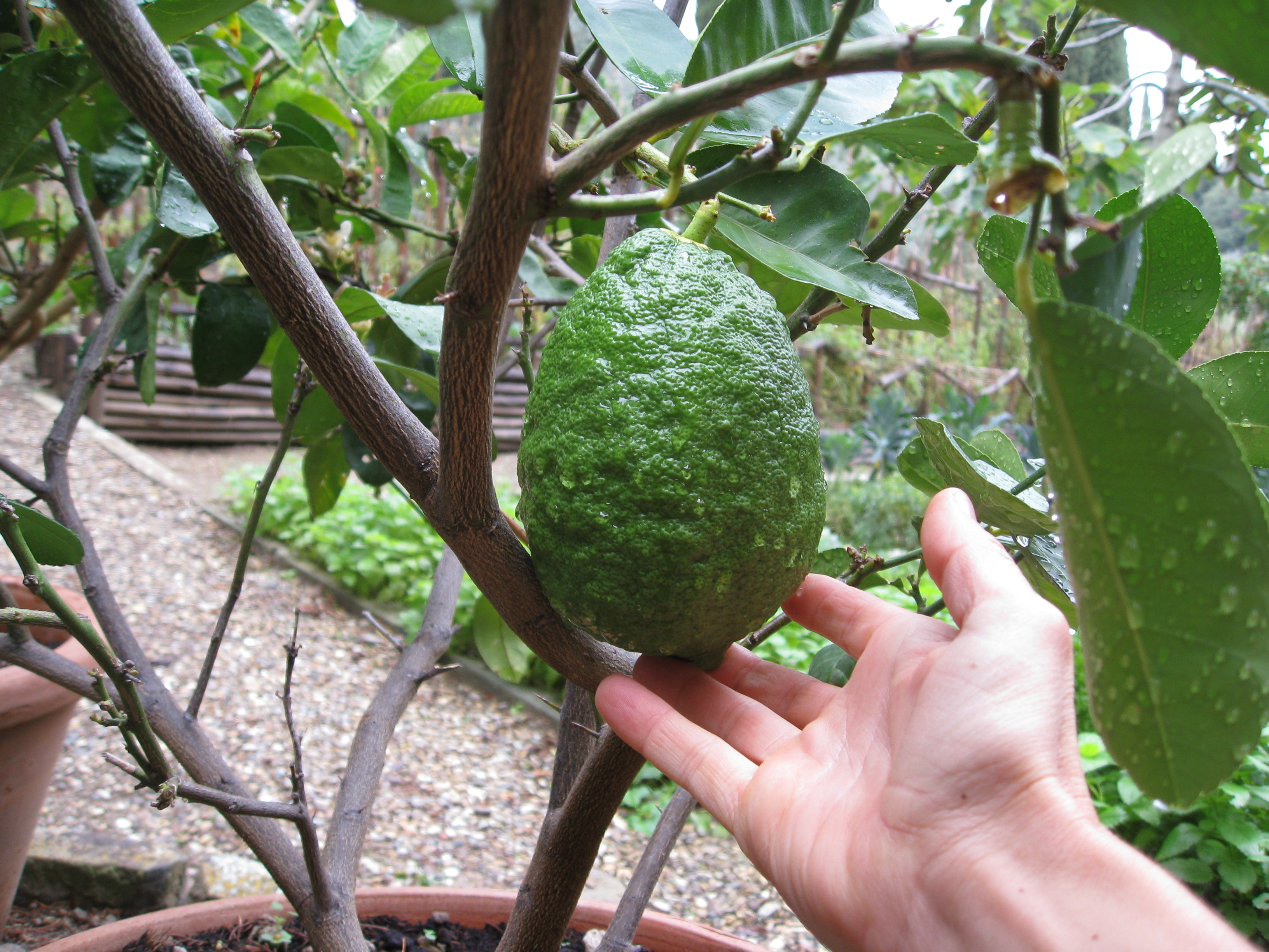 Citron is a popular fruit in Italy. We found a tree in a terra cotta pot near the entrance.