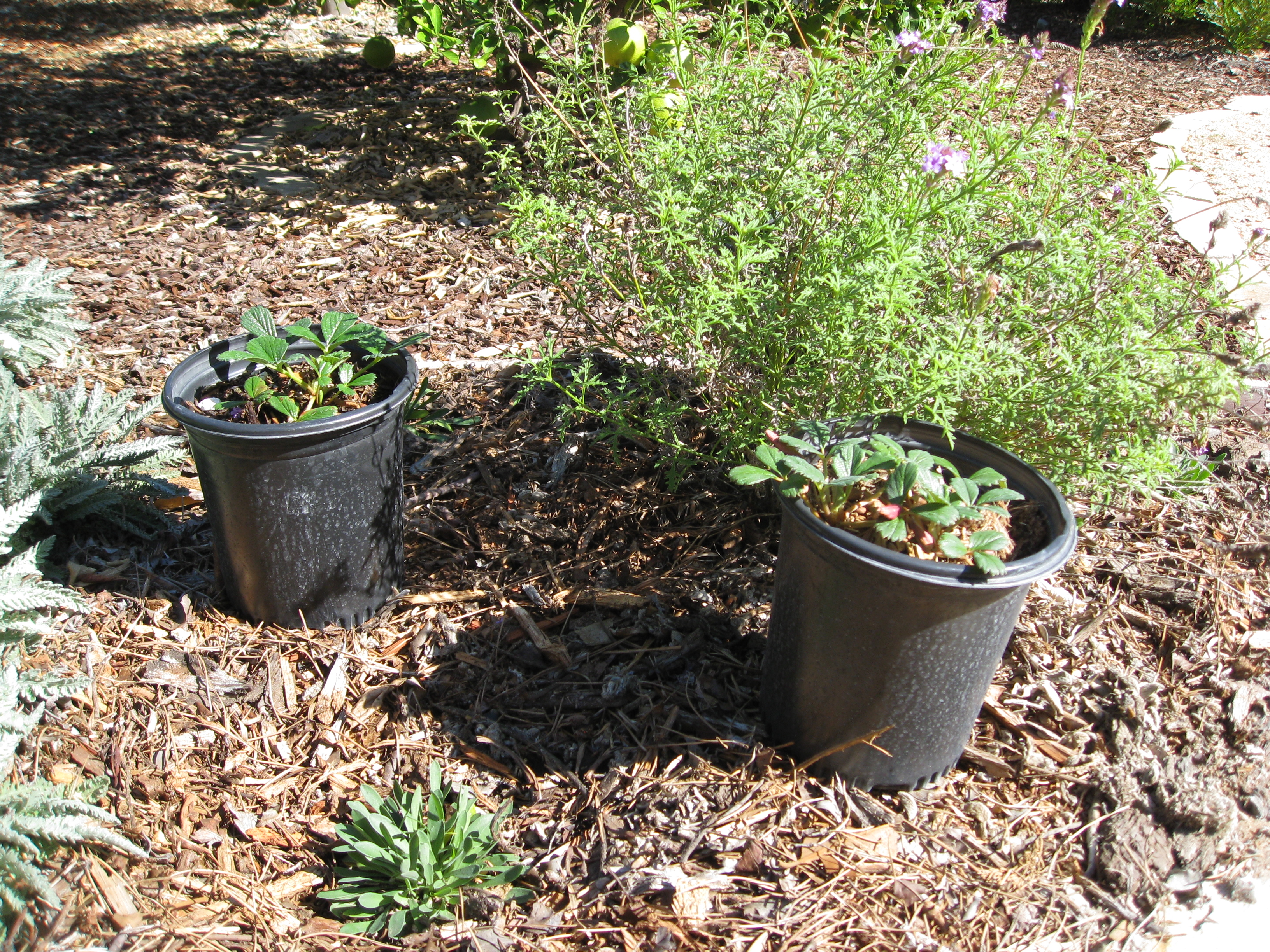 Fragaria chiloensis awaits planting next to newly planted limonium californica and year-old verbena liliacina.