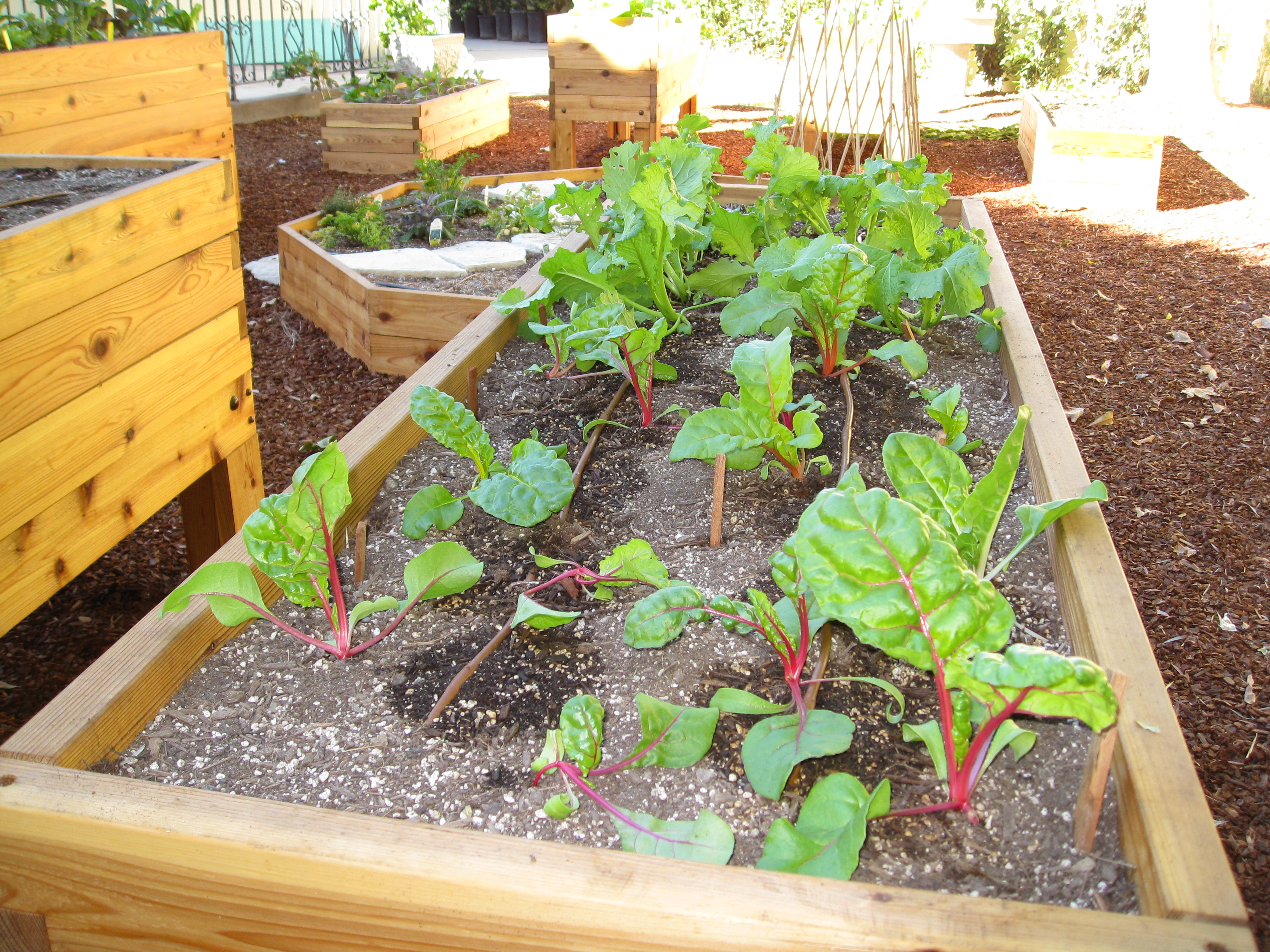 Residents started chard and mustard greens from seed in trays. Then transplanted them into their beds.