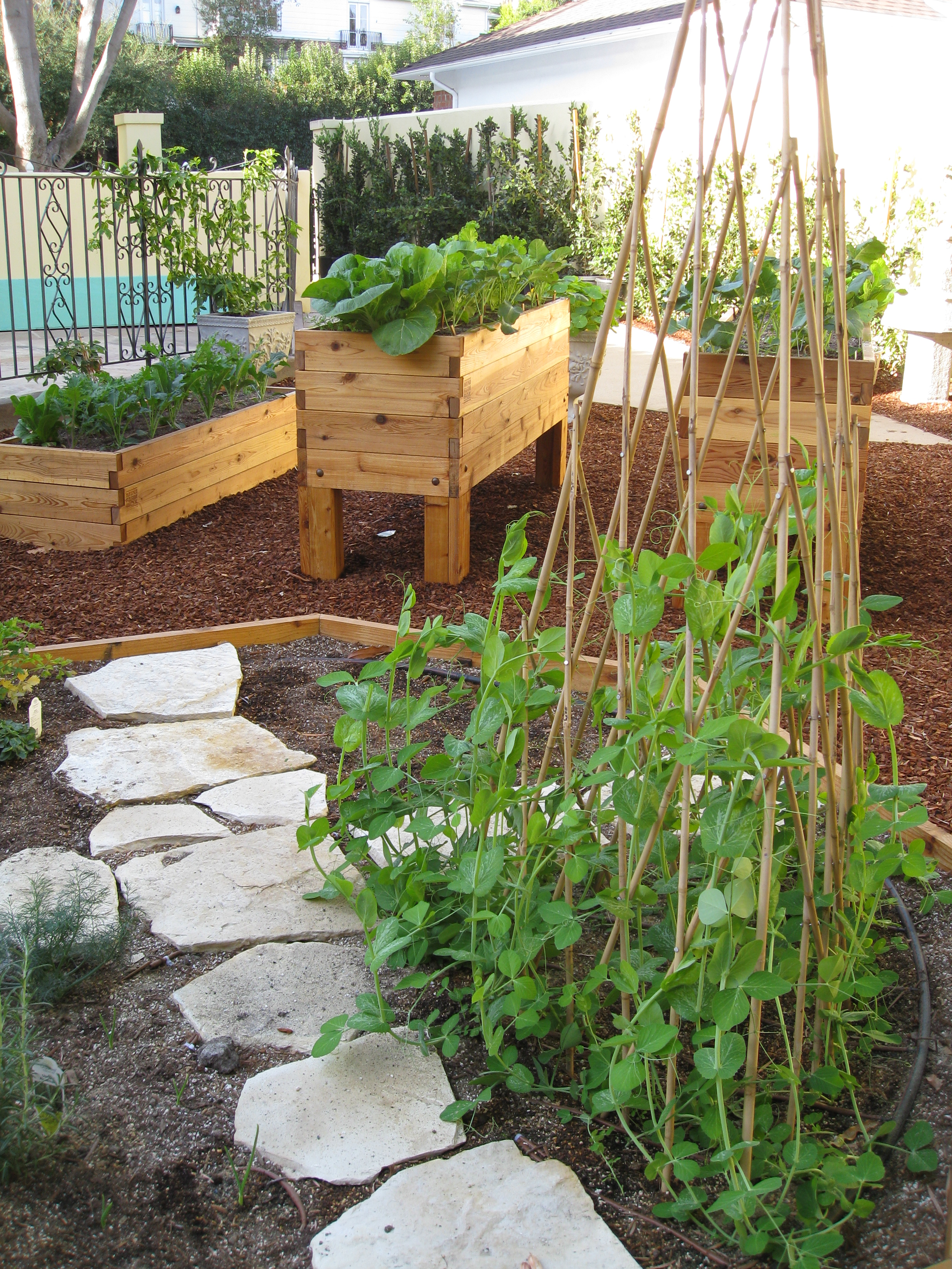 Sugar snap peas, grown from seed, climb a trellis in the community plot.