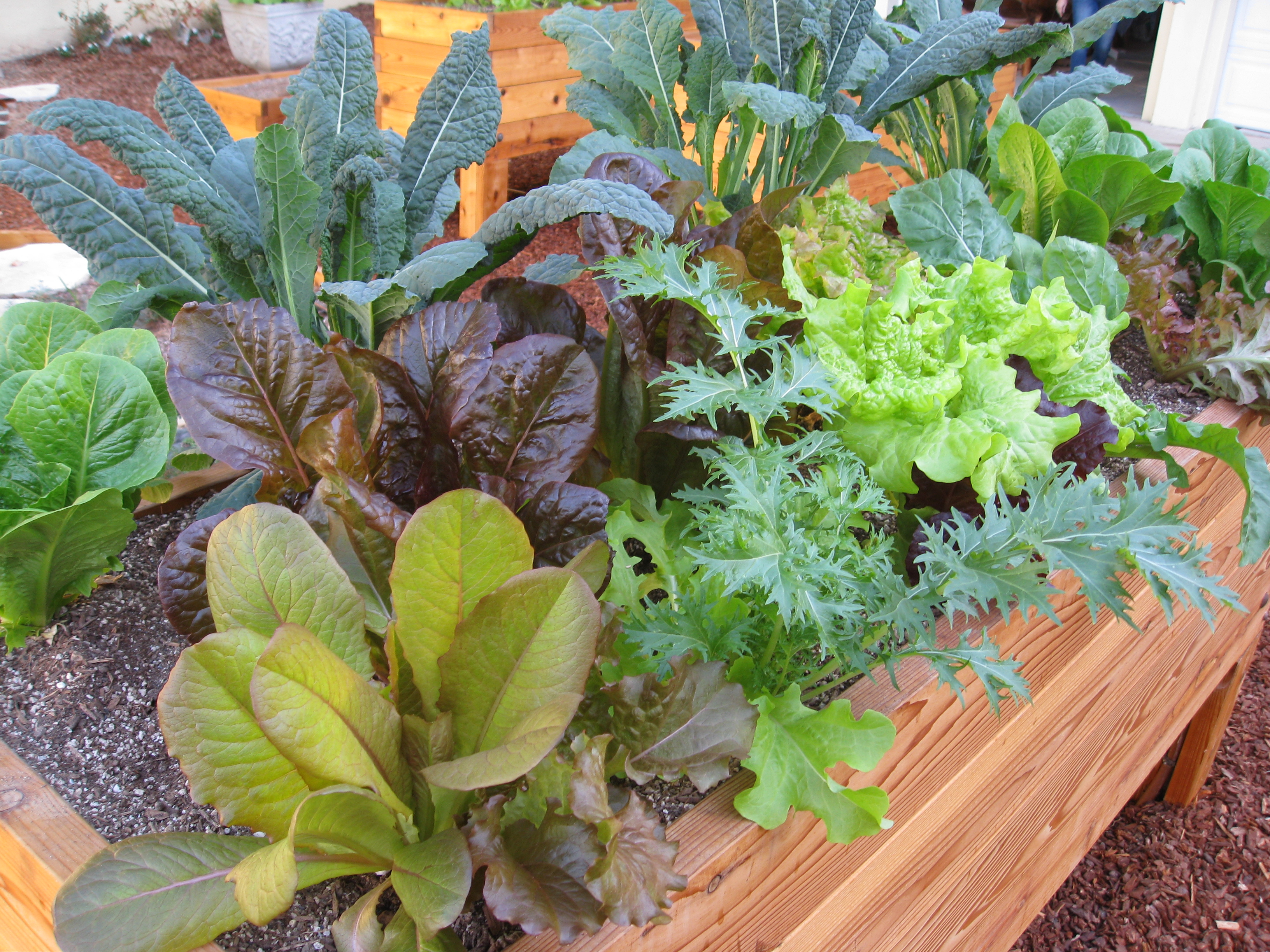 A mixture of lettuces and kale, planted from nursery transplants, allow residents to see the difference between starting from seed and buying from the nursery.