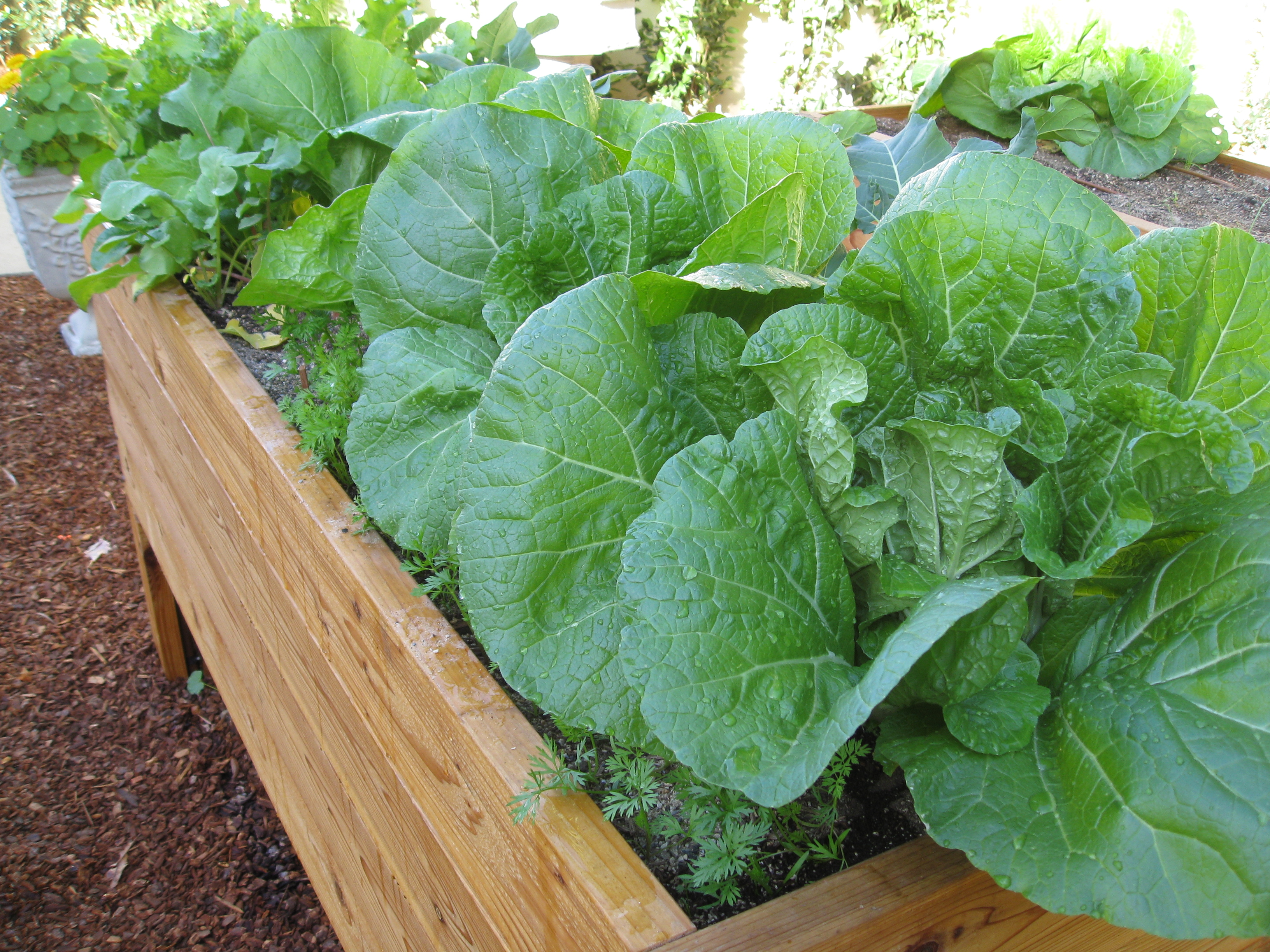 Seed-grown cabbages, carrots and mustard greens are bursting from one resident's garden bed.