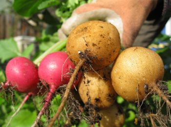 Helios radishes, one of several new varieties we trialed this winter.