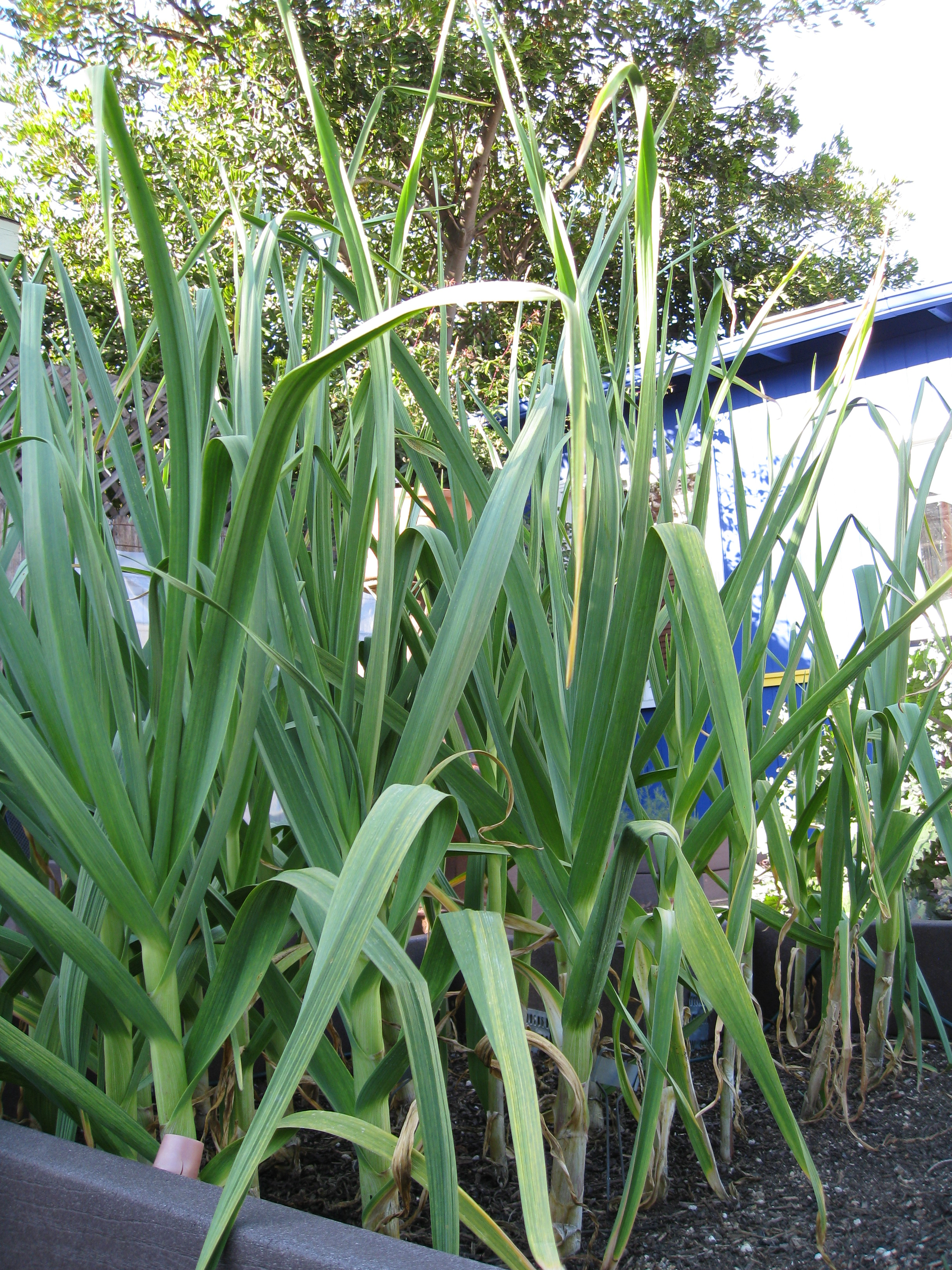 "Garlic gets 24-30"" tall, so plant it to the north of your shortest crops."