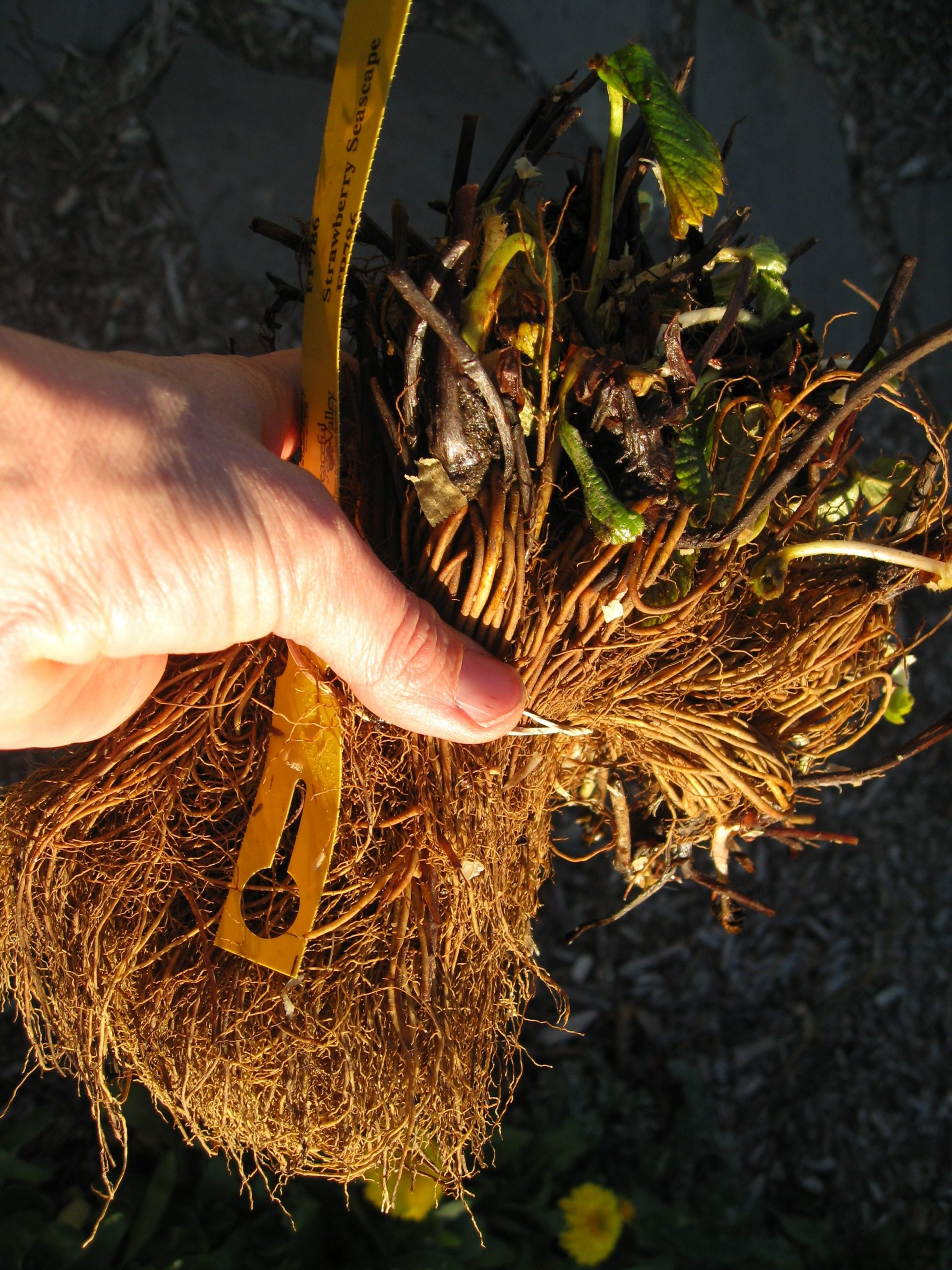 You are currently viewing Planting Bare Root Strawberries