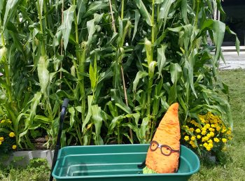 Sarah took Mr. Nerd for a spin around the corn patch.