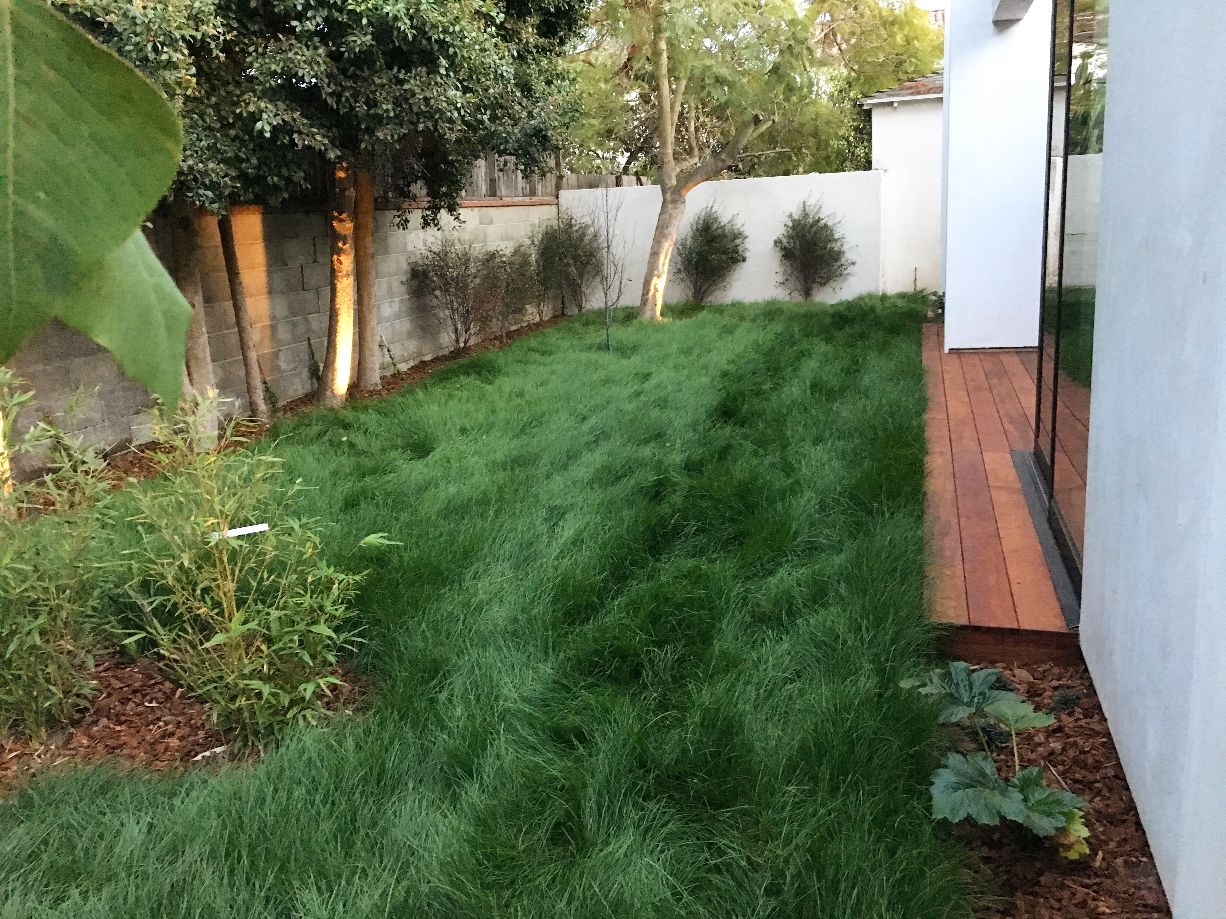 Native California sod grows in only 3 weeks to this lush carpet.