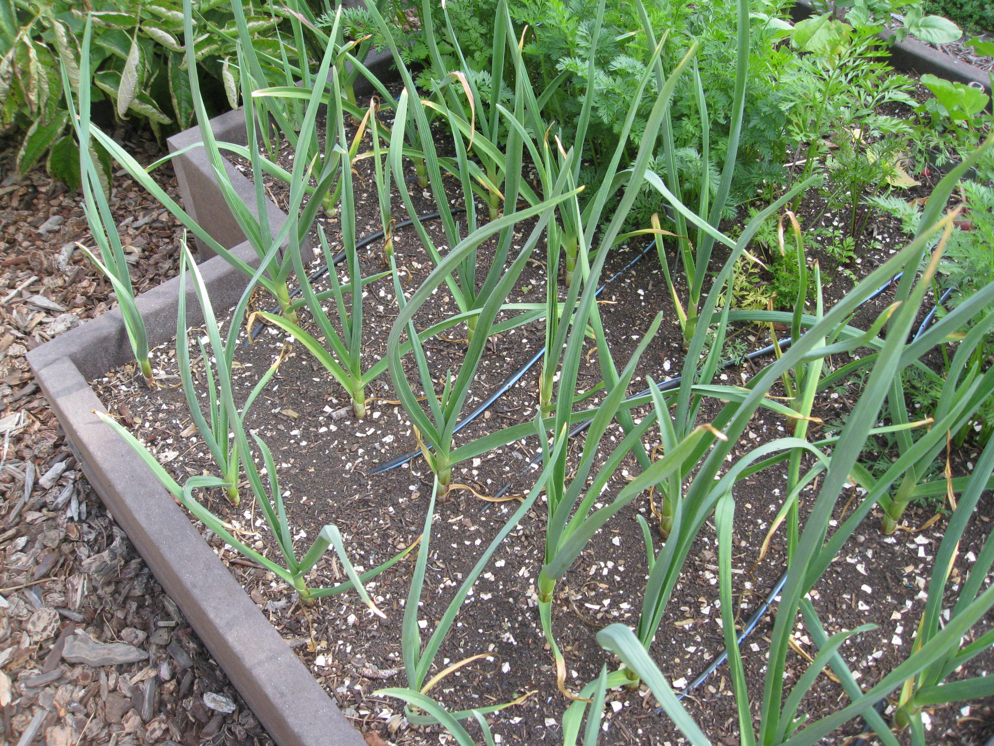 Fall-planted garlic jumps in spring weather.