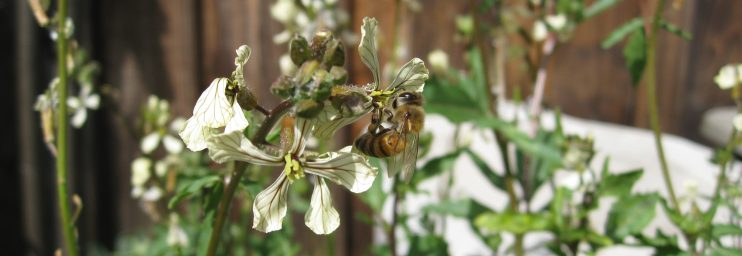 Bees take advantage of arugula that has bolted to seed in last week's heat.