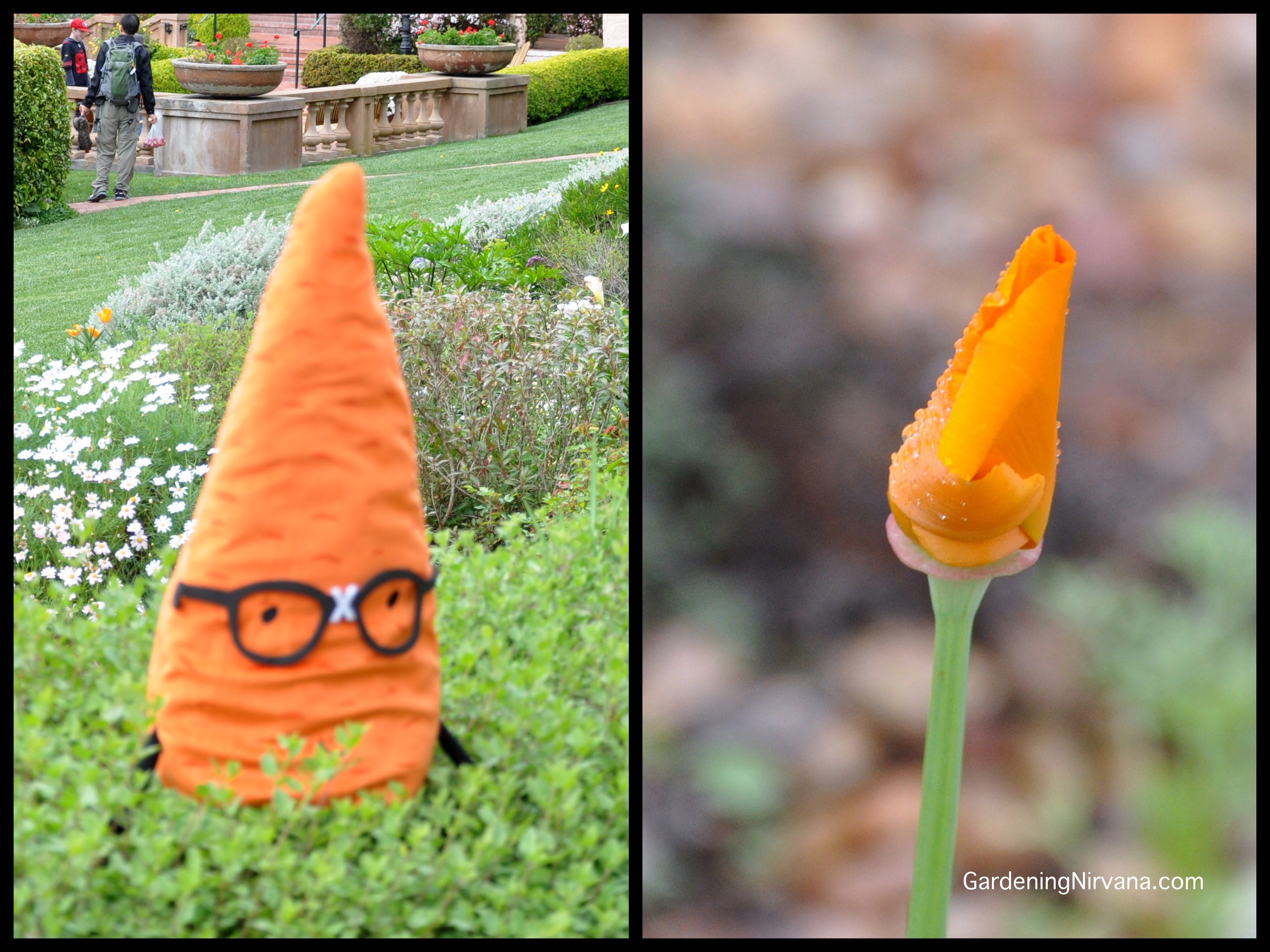 All photos by Alys Milner of Gardening Nirvana. We love that Mr. Nerd could go as a California poppy at a Halloween party. Thanks for pointing that out Alys!