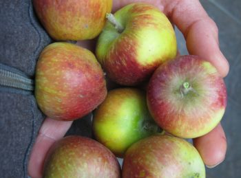 Tiny Fuji apples from our first harvest. Didn't thin - how else can you fit 7 apples in one hand?