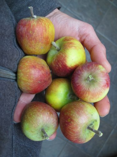 Read more about the article Thinning Fruit on Apple Trees