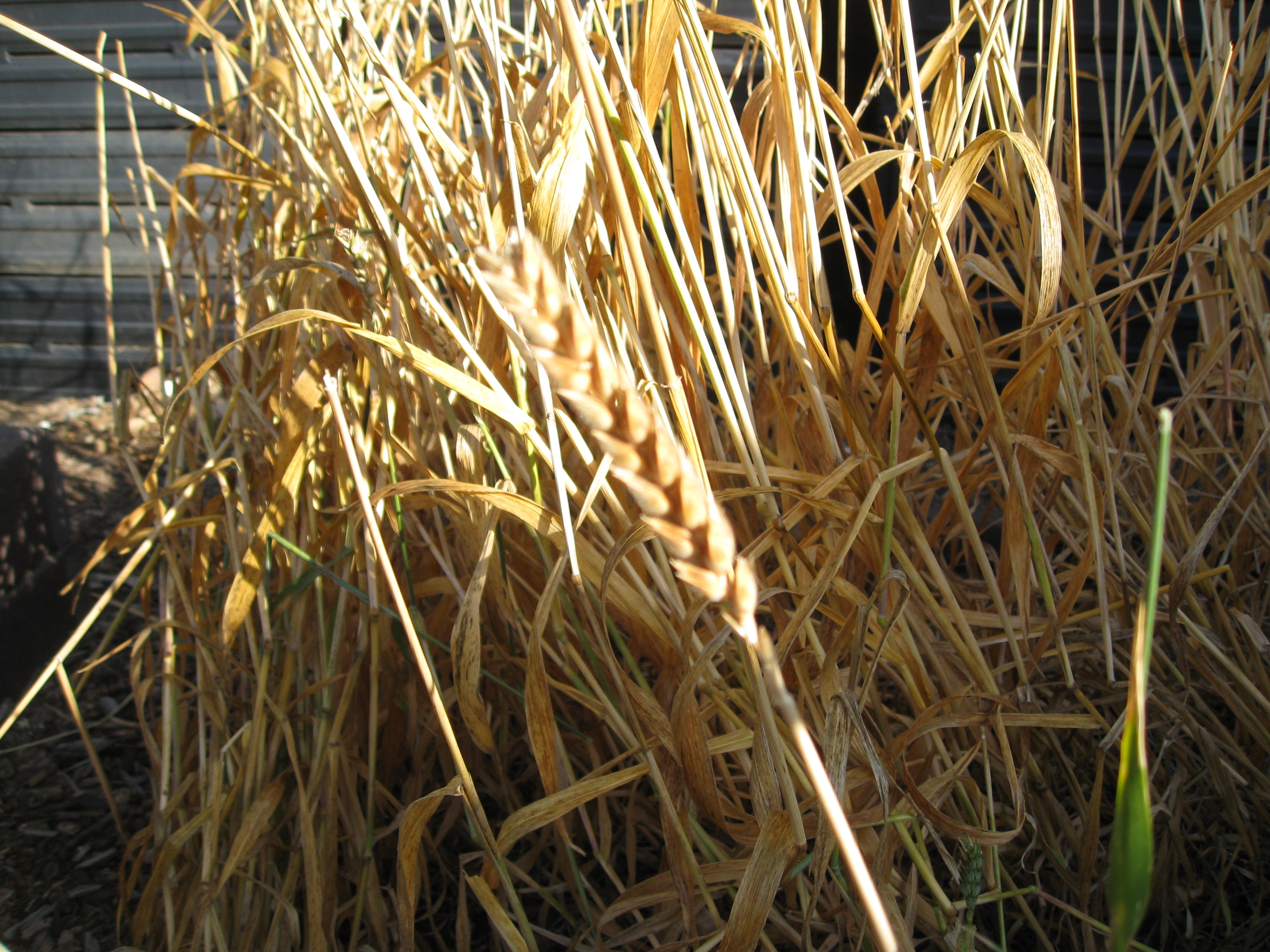 Sonora white wheat is ready for harvest.