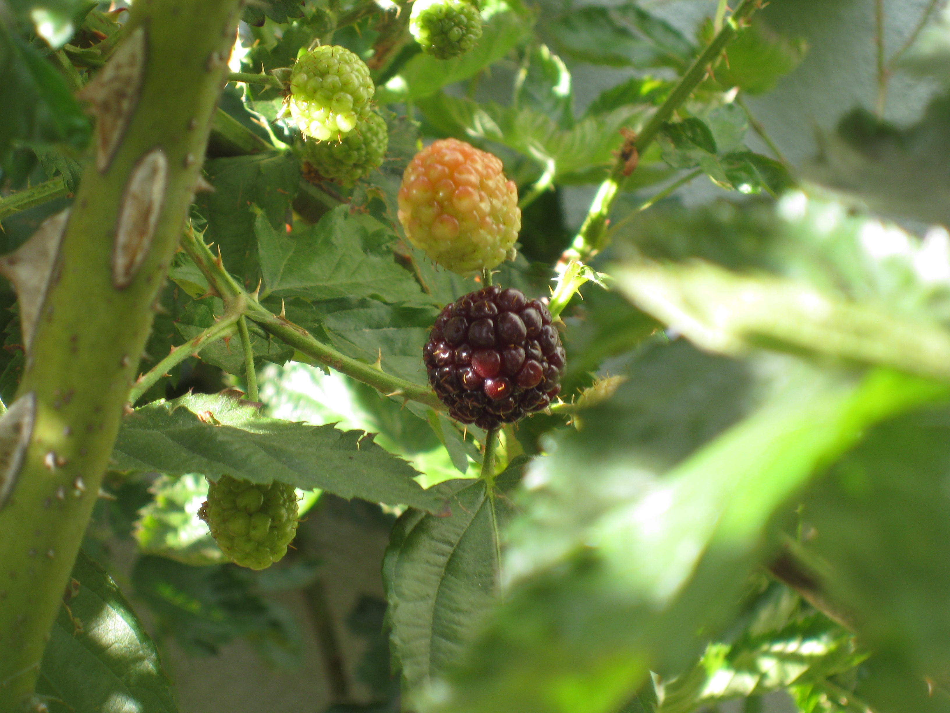 Our first blackberry ripens way in the back. Don't know how we'll reach it to harvest yet.
