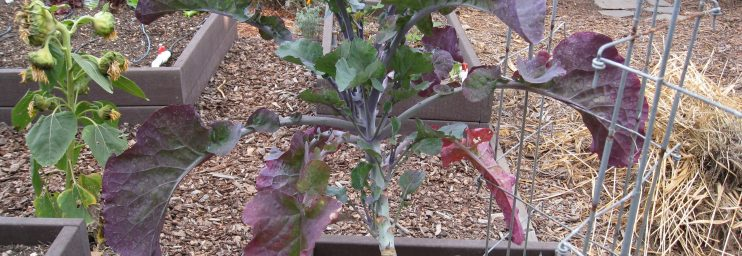 Tree kale, a perennial vegetable with deep roots.