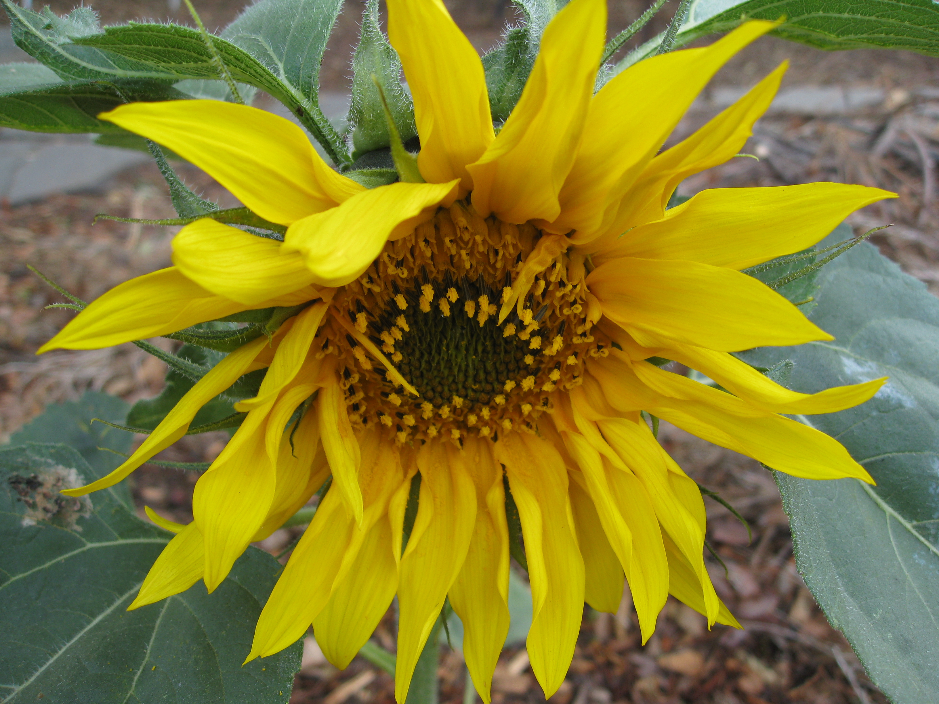 Volunteer sunflower graces the garden with her presence.