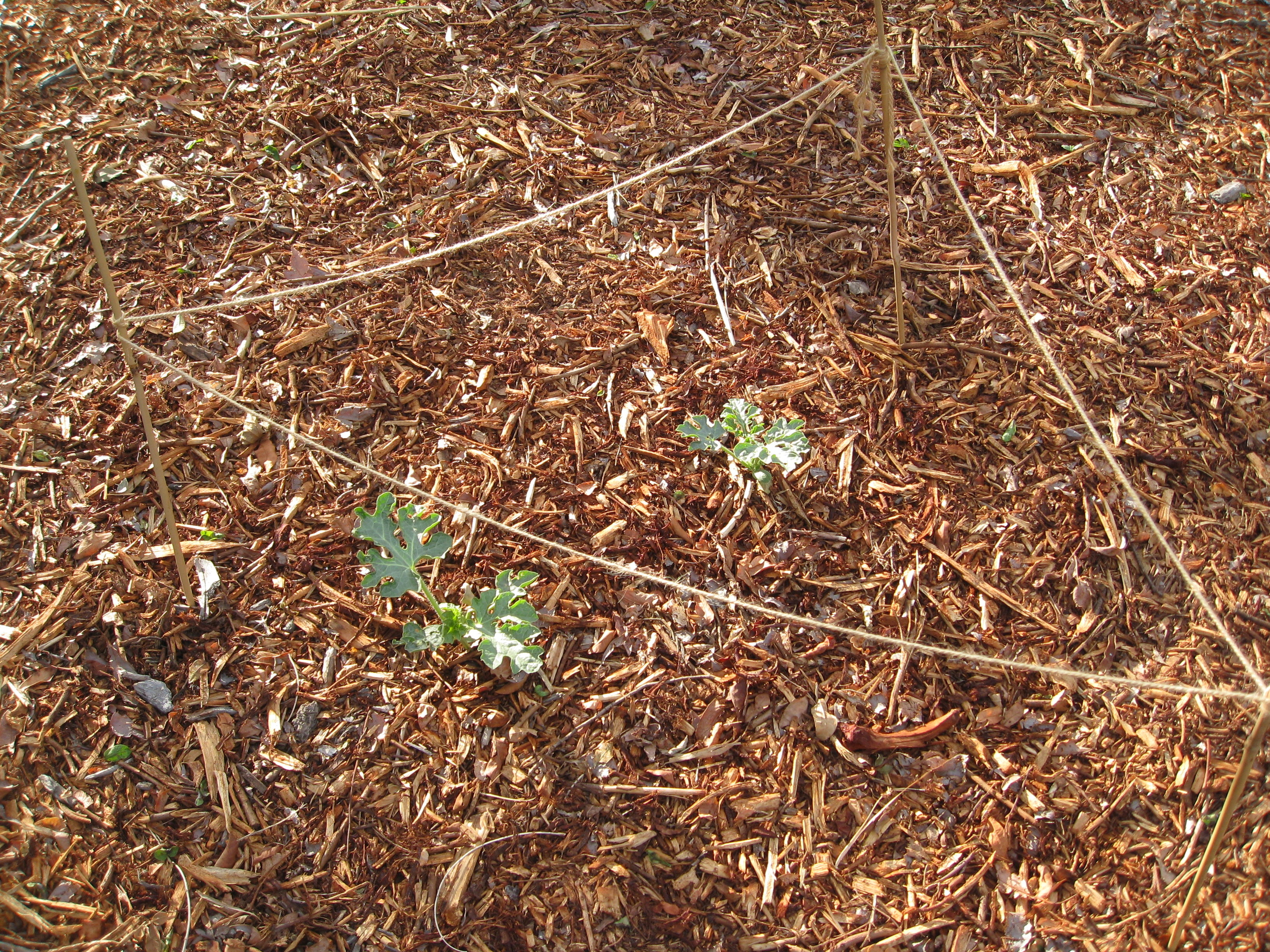 Two volunteer watermelons sprouted in the middle of the yard. We created a safe haven for them to prosper.
