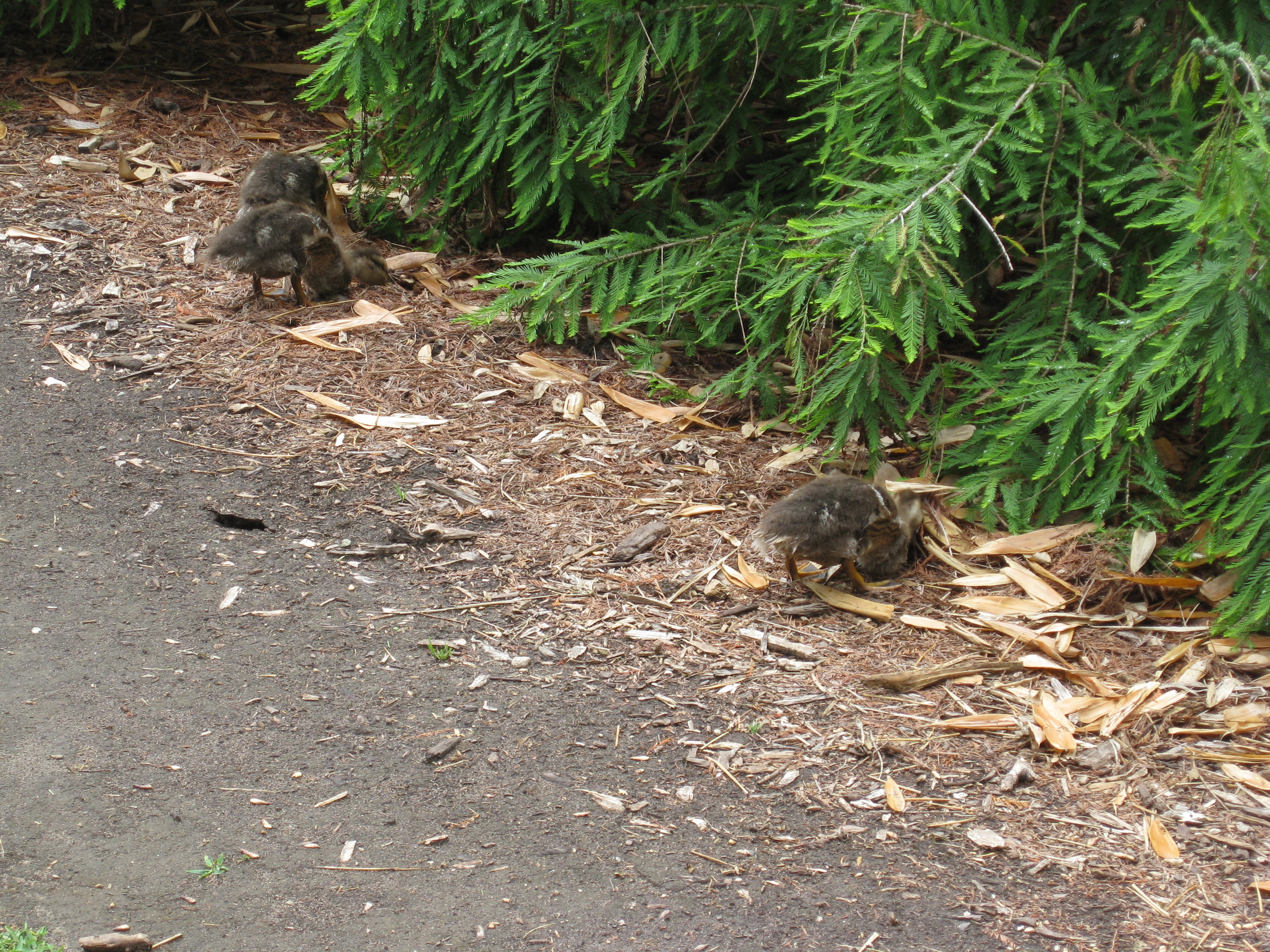 Baby ducks nestle into the mulch with Mom nearby.